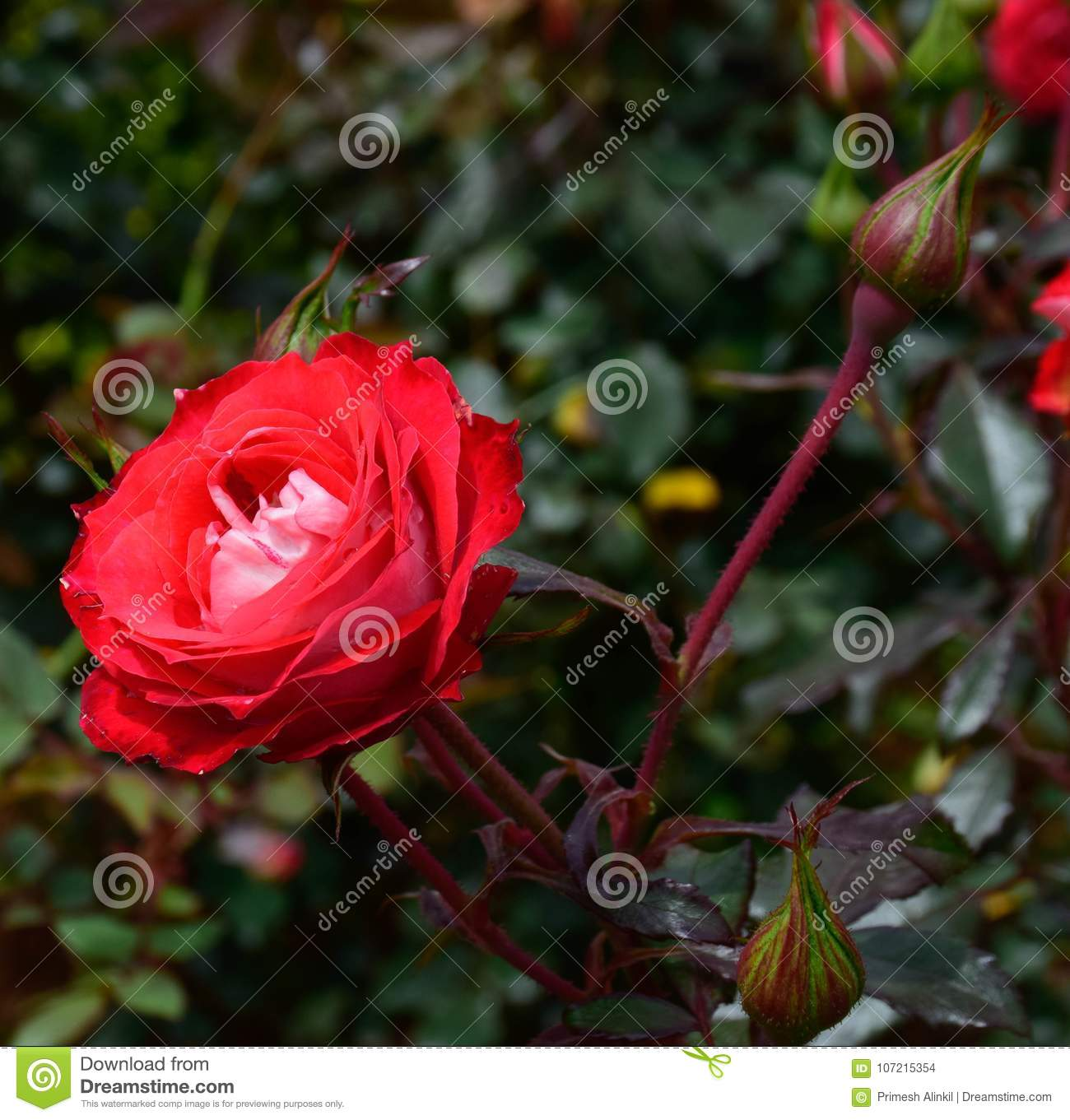 Beautiful rose flower in a rose gardenooty stock photo image of download beautiful rose flower in a rose gardenooty stock photo image of beautiful izmirmasajfo