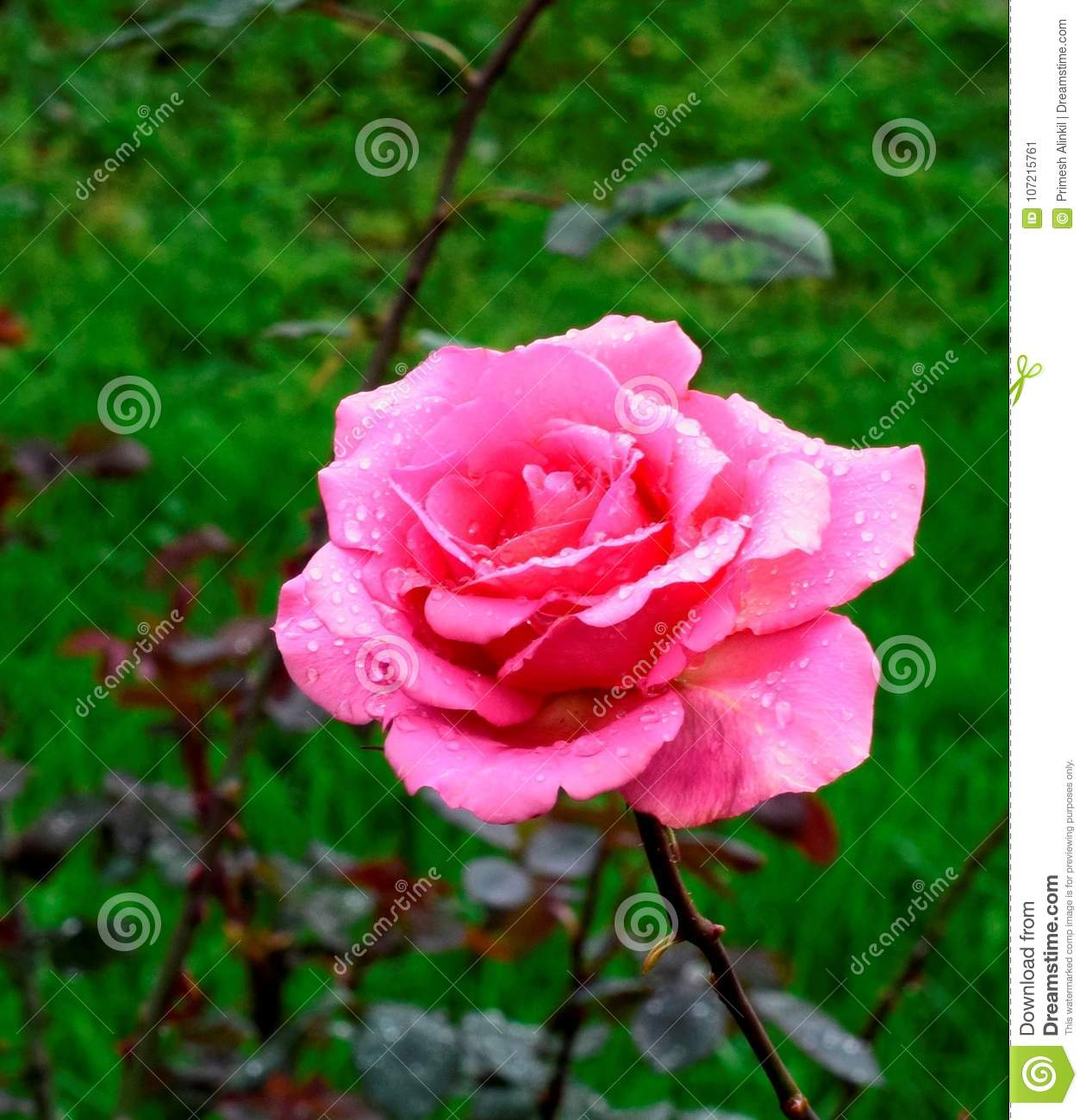 Beautiful Rose Flower In A Rose Gardenooty Stock Image Image Of