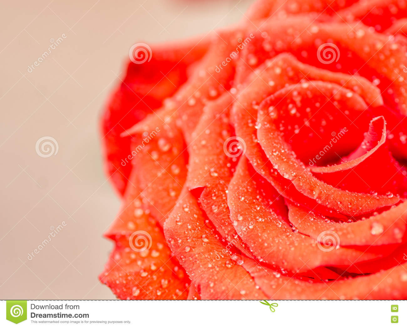 Beautiful Rose Flower With Raindrops On It Stock Photo Image Of