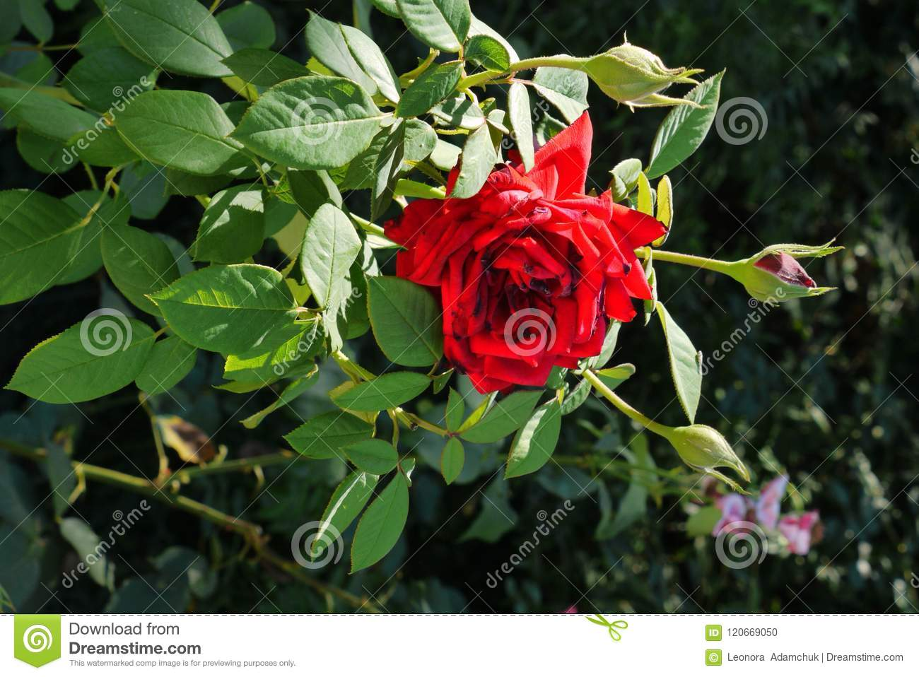 A beautiful rose flower with red petals with a green stem with a beautiful rose flower with red petals with a green stem with spiked thorns will be izmirmasajfo