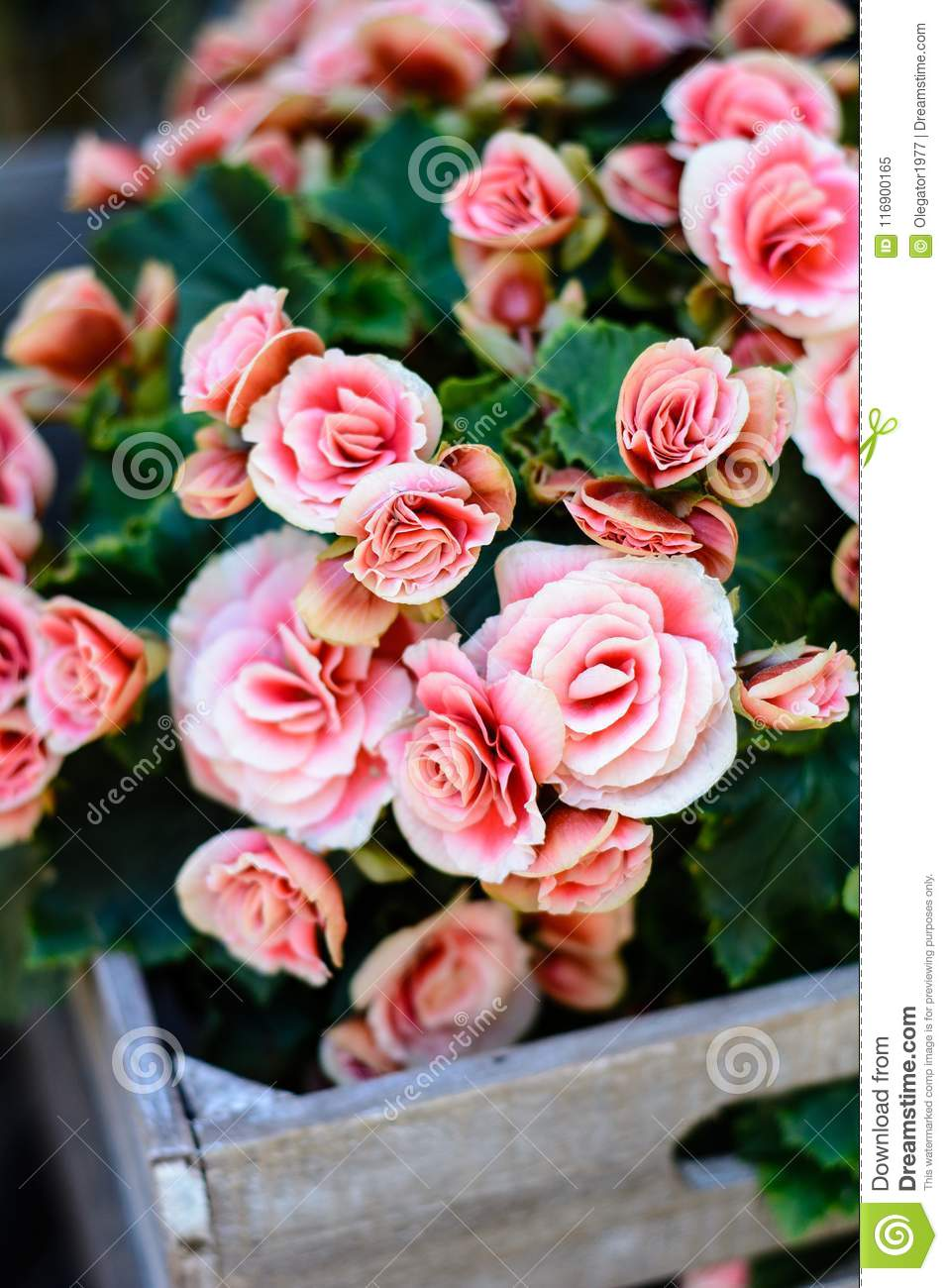 Beautiful Pink Roses Flowers Background Stock Image Image Of
