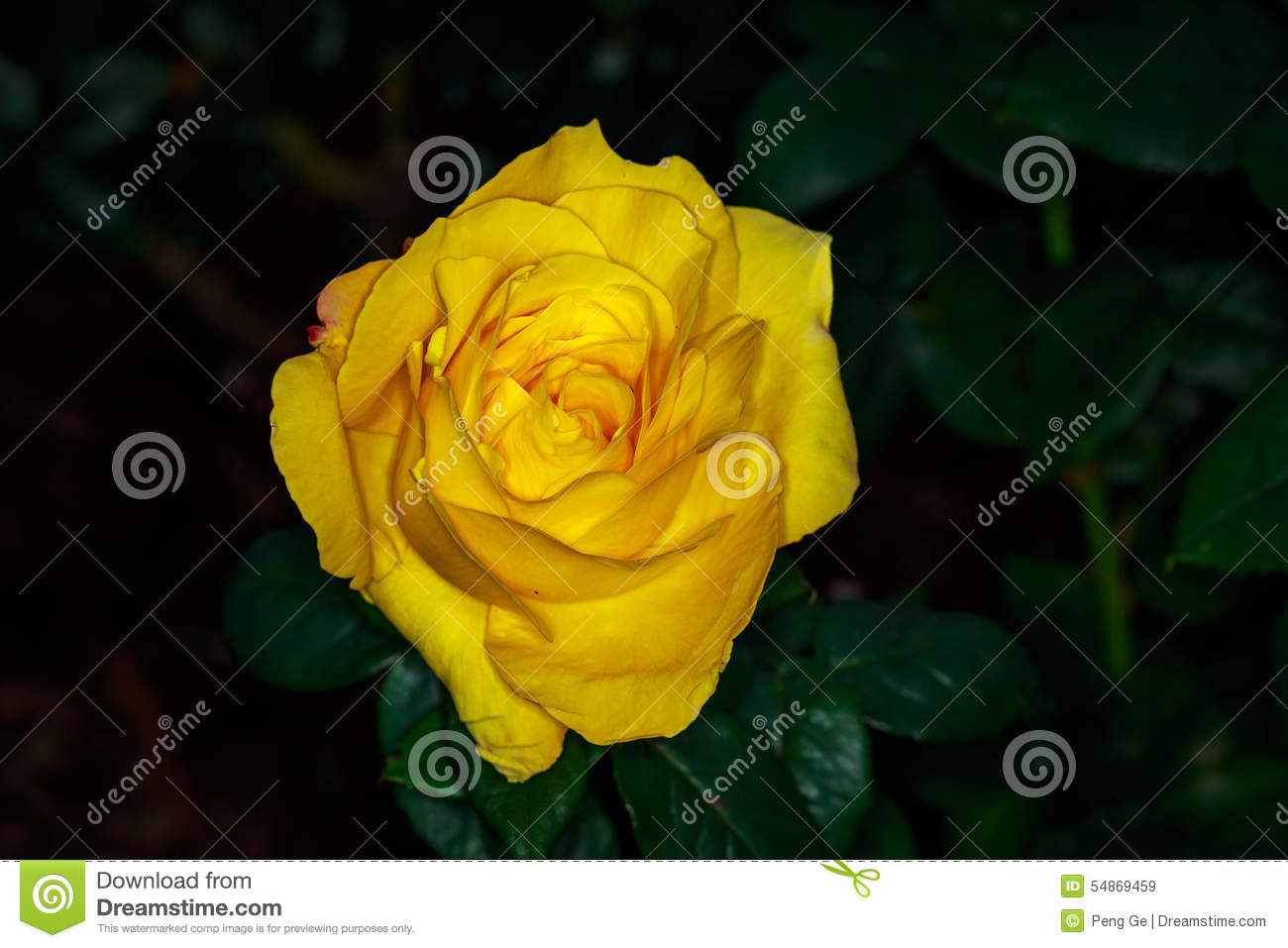 Beautiful Rose In Full Blossom Stock Photo Image 54869459
