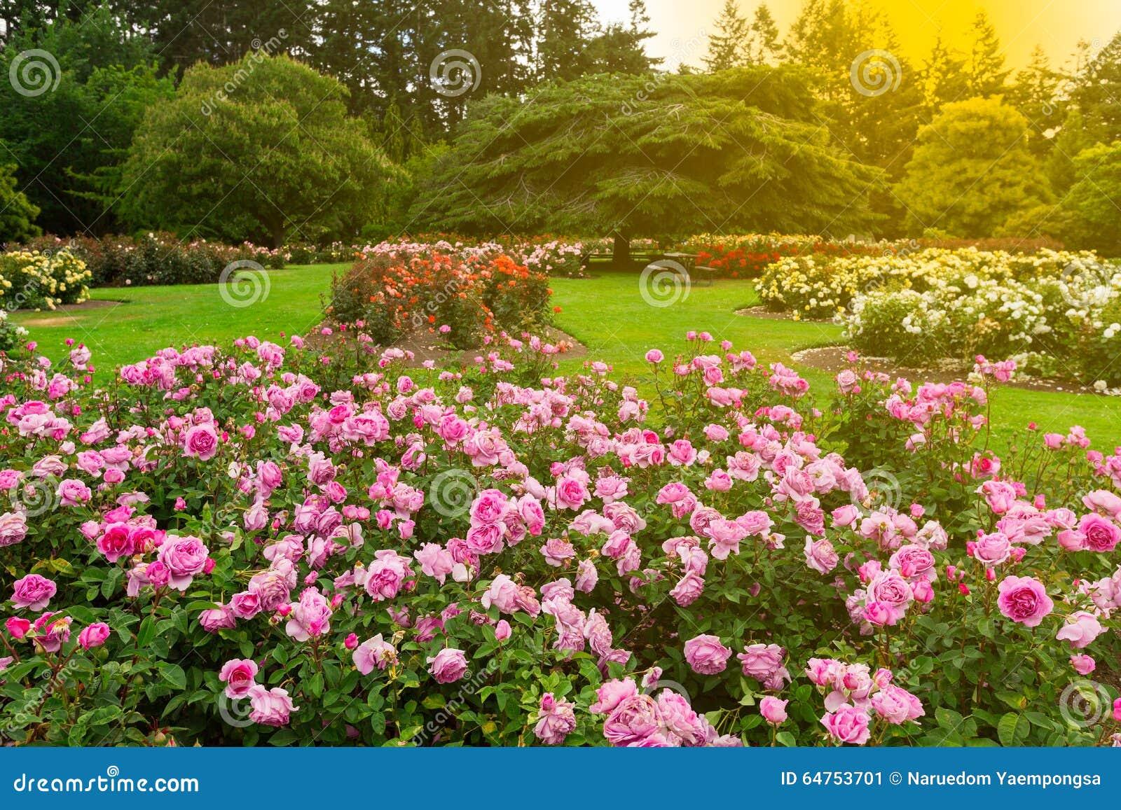 Beautiful Rose Garden Stock Image Image Of Valentine 64753701