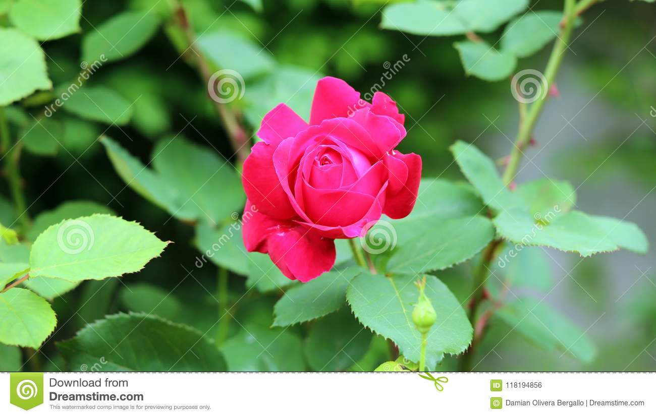 Beautiful Rose In Garden Pink And Red Flower With Green Background