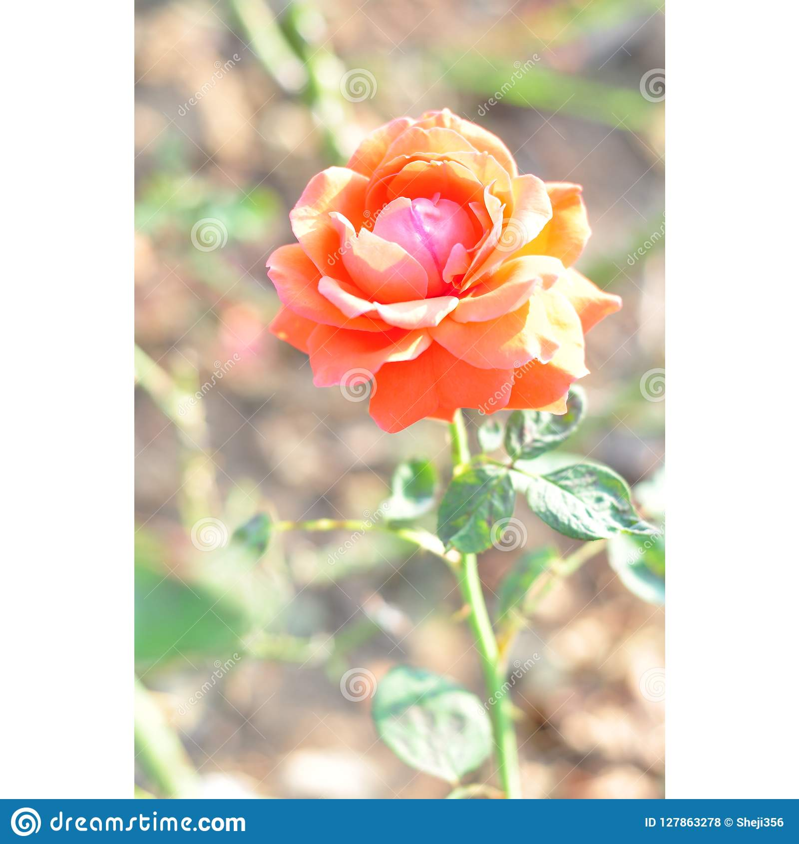 Beautiful rose petals are blooming, HD red flowers pictures