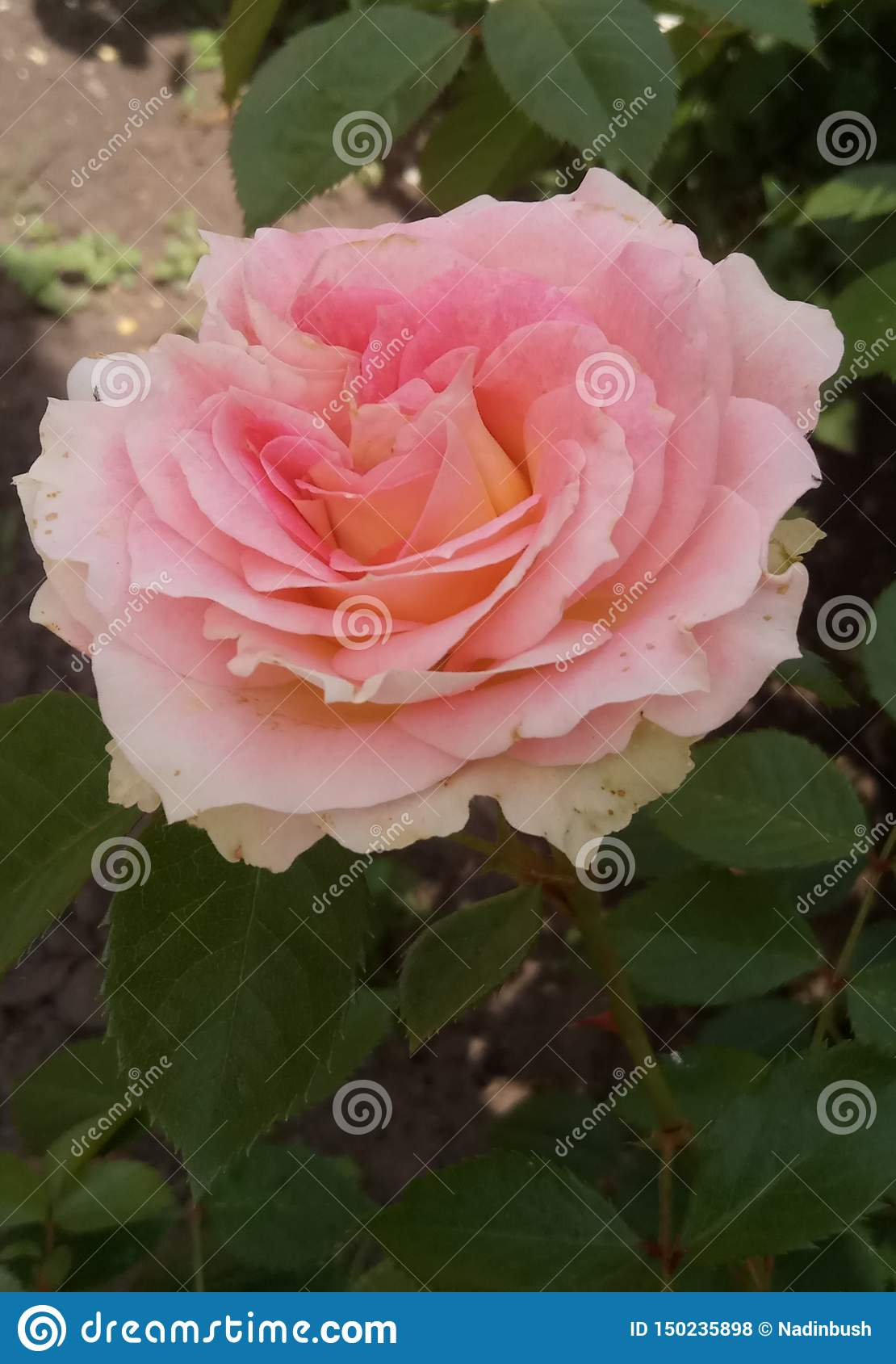 Beautiful rose in summer sunny day