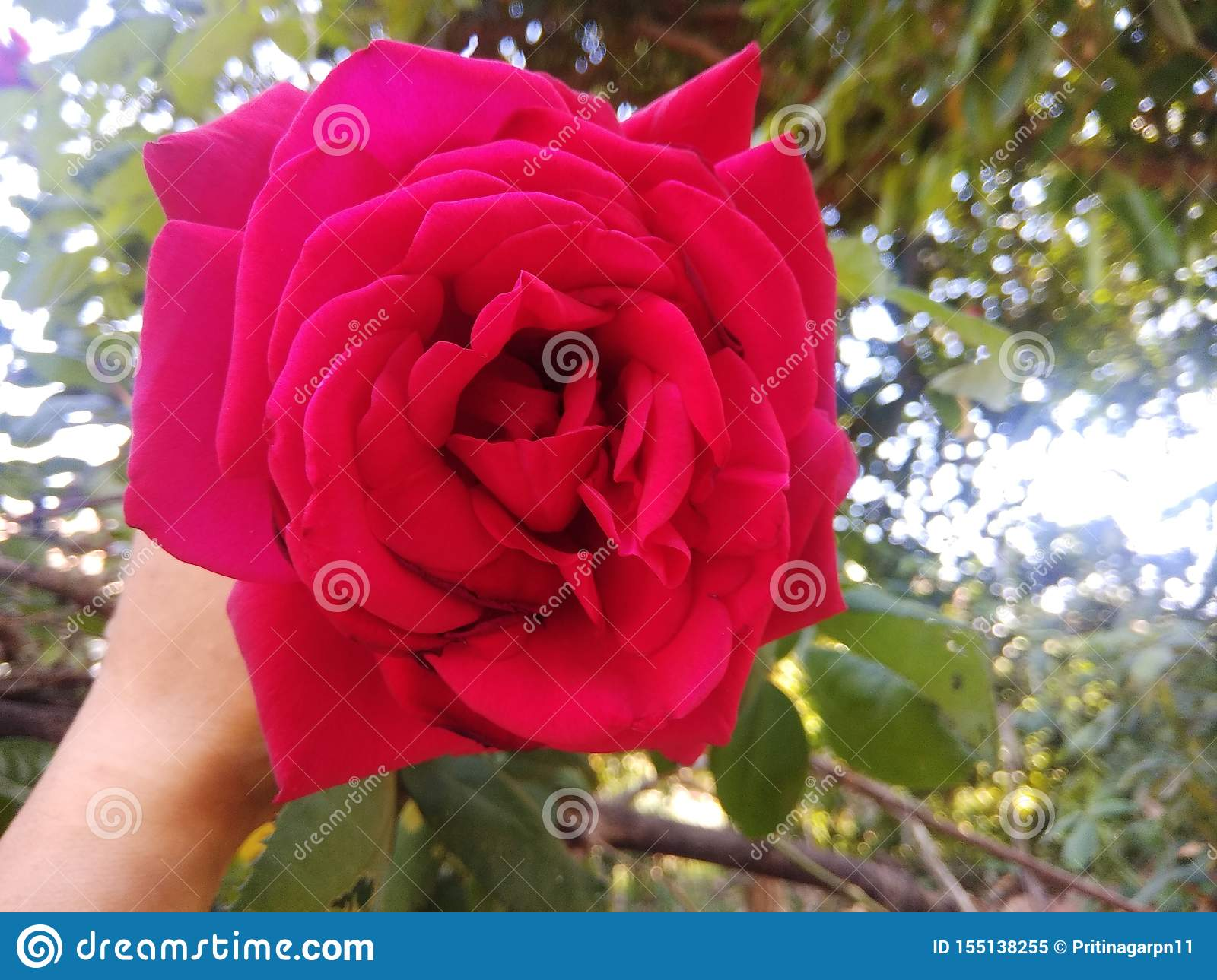 A beautiful rose to take a neutral glow in its
