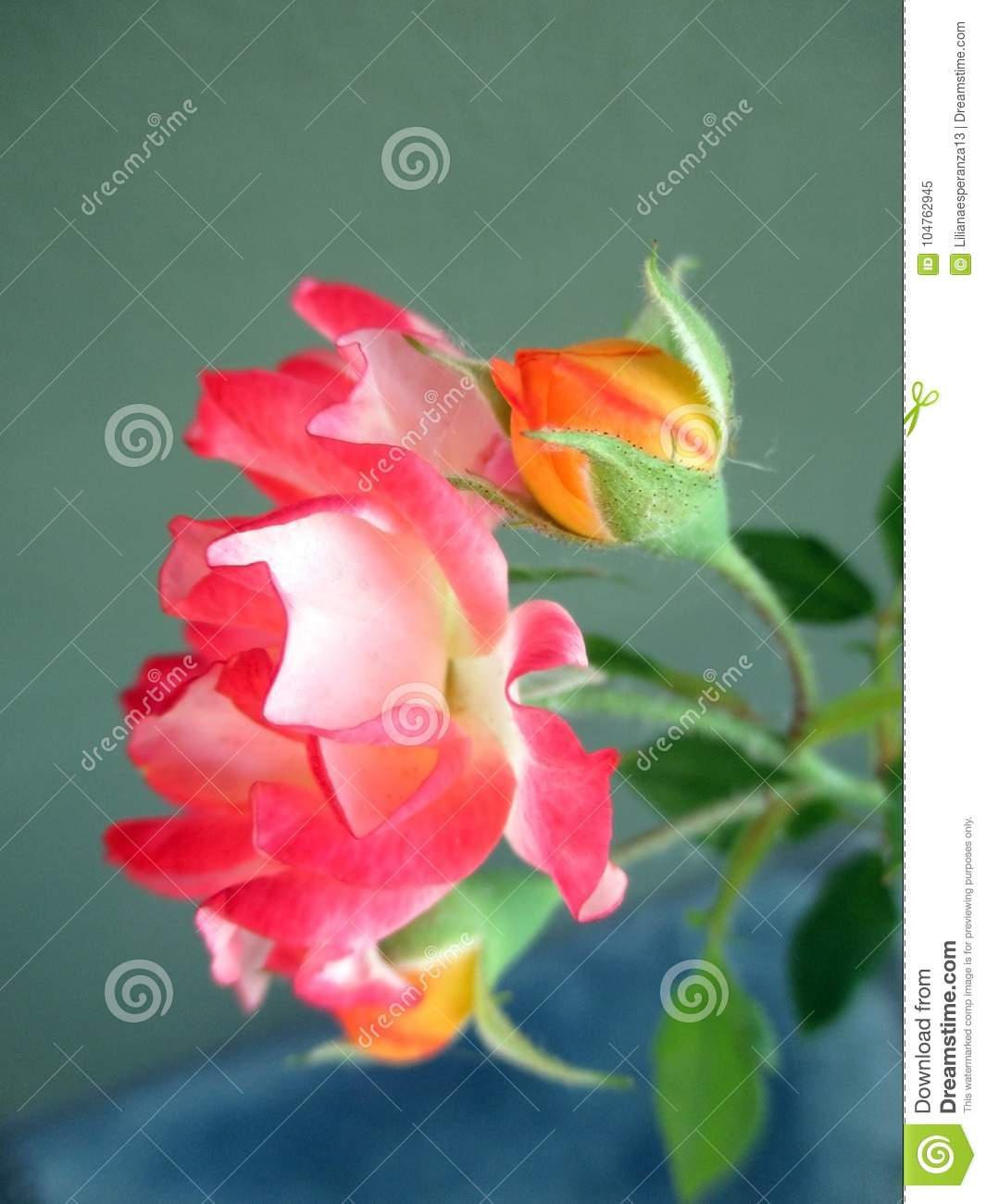 Beautiful Rose Whith Buds In The Spring Garden Splendid And