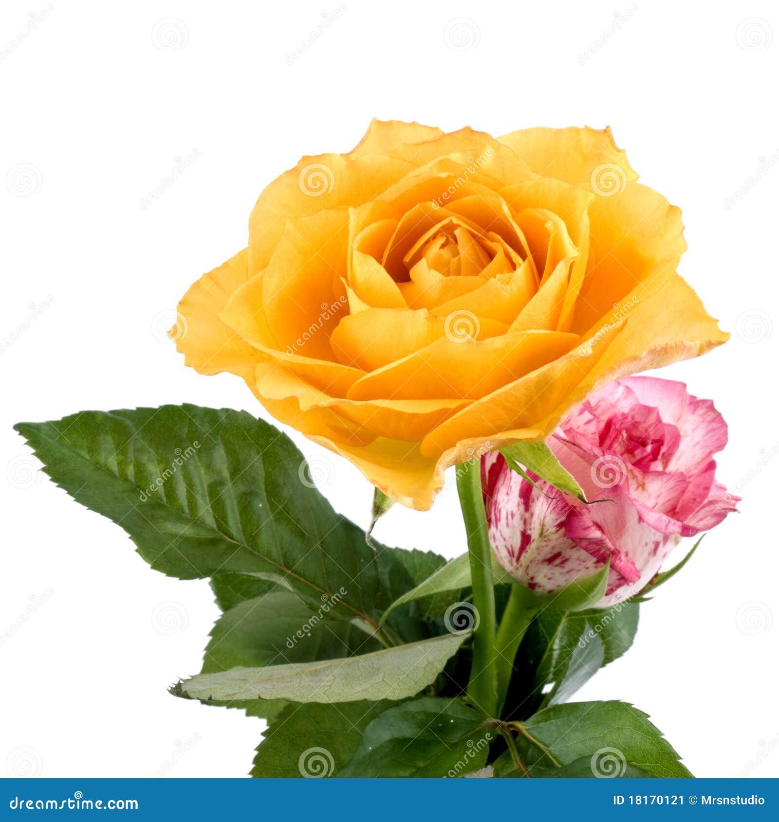 Beautiful Roses Stock Image Image 18170121