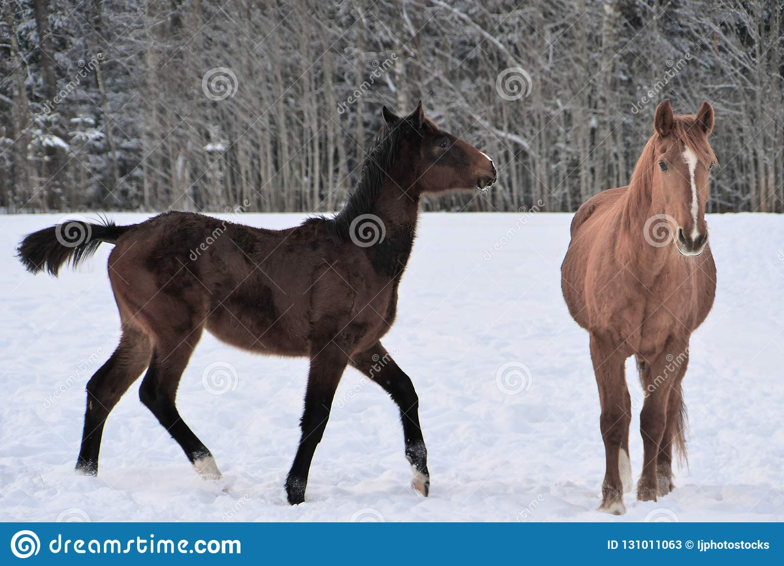 Two Horses Wearing Winter Coats Playing In Snow Covered Paddock Stock Image Image Of Winter Strip 131011063