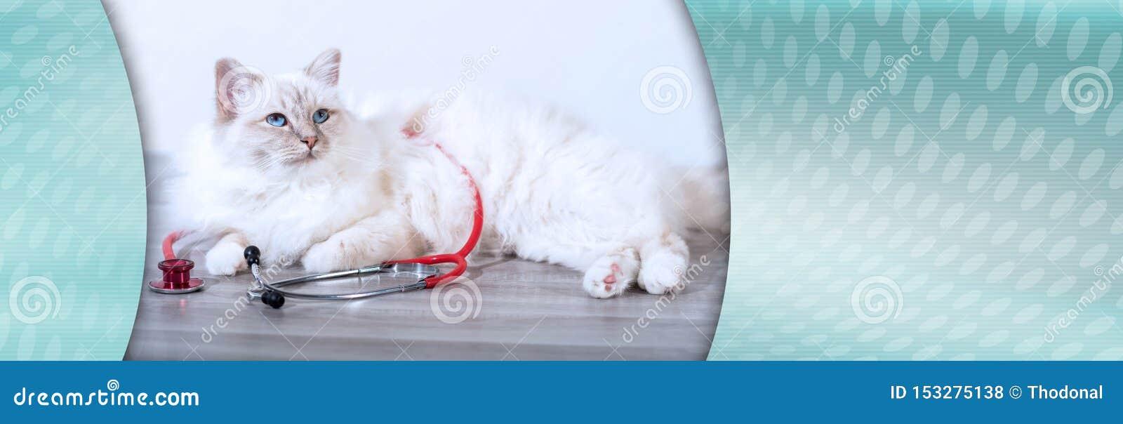 Beautiful sacred cat of burma with stethoscope; panoramic banner