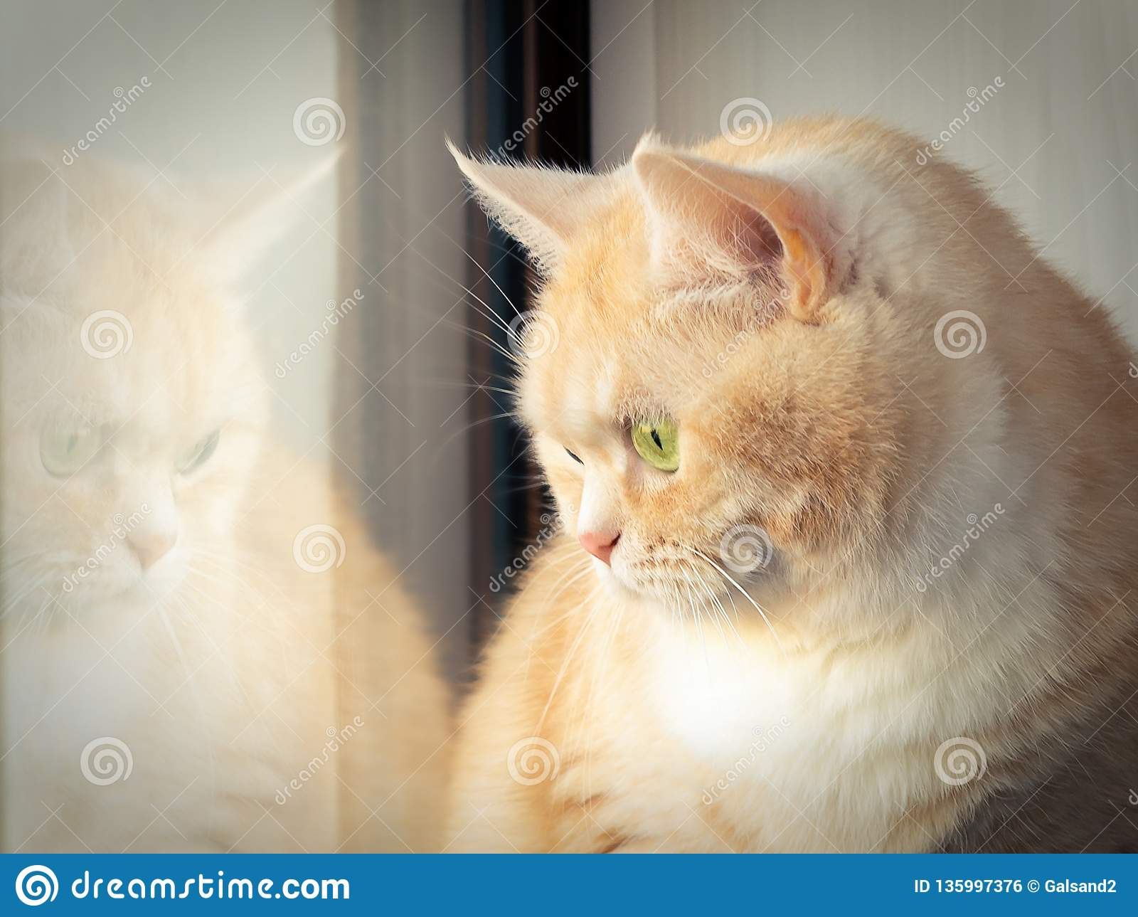 Beautiful sad creamy tabby cat sitting near the window