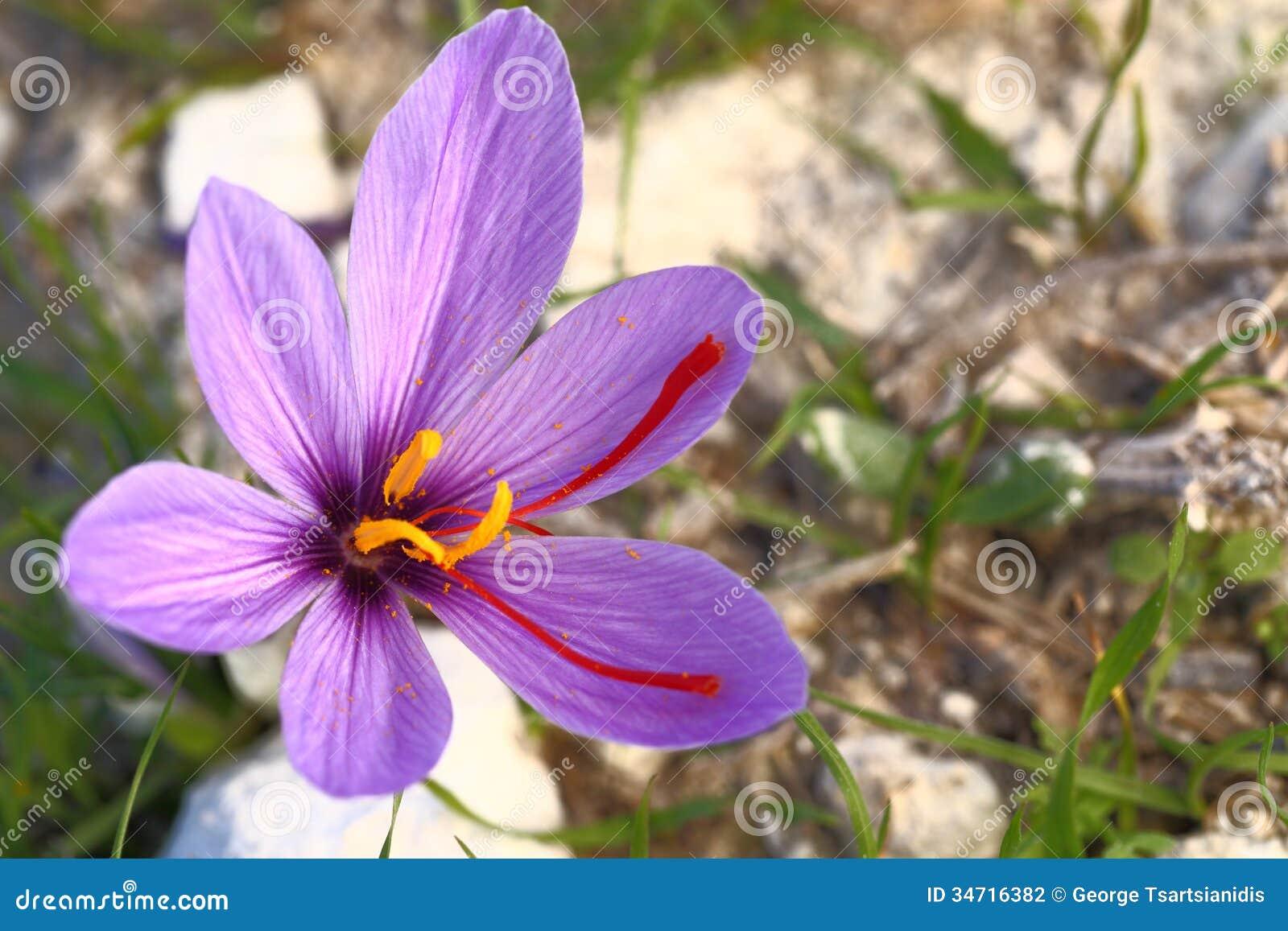 Beautiful Saffron Flowers Stock graphy Image