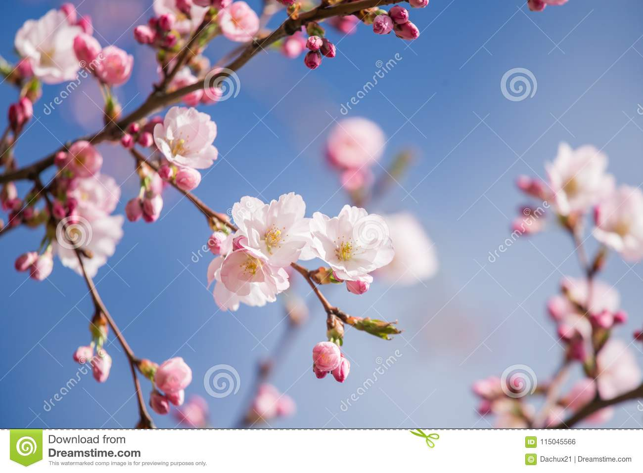 A beautiful sakura cherry blossoms in a sunny spring day cherry download a beautiful sakura cherry blossoms in a sunny spring day cherry flowers in natural mightylinksfo