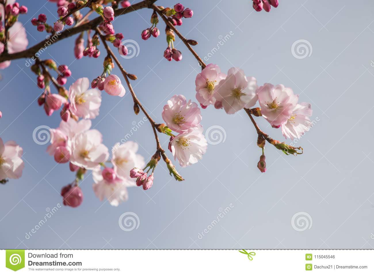 A beautiful sakura cherry blossoms in a sunny spring day. Cherry flowers in natural habitat. Sakura growing in park.