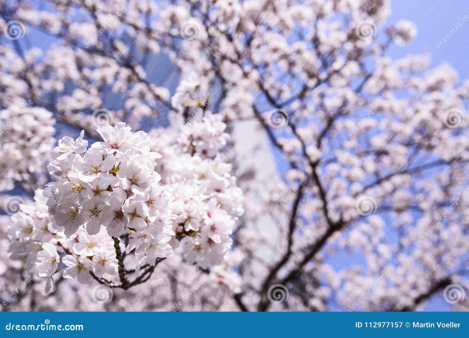 Beautiful Sakura Cherry Blossoms in Tokyo, Japan
