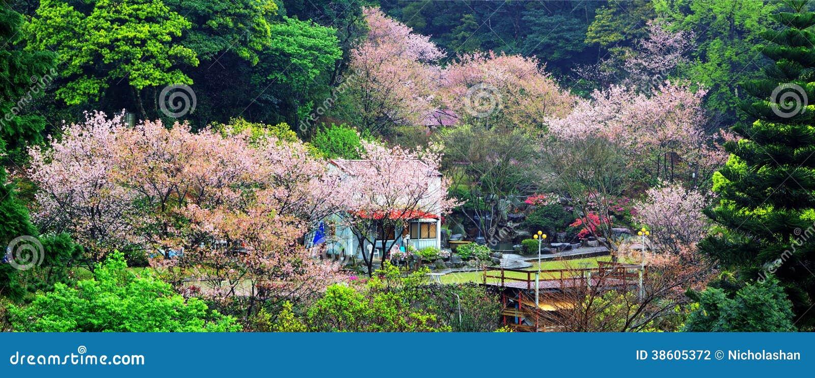 Beautiful Sakura Garden In Taiwan Stock Photography