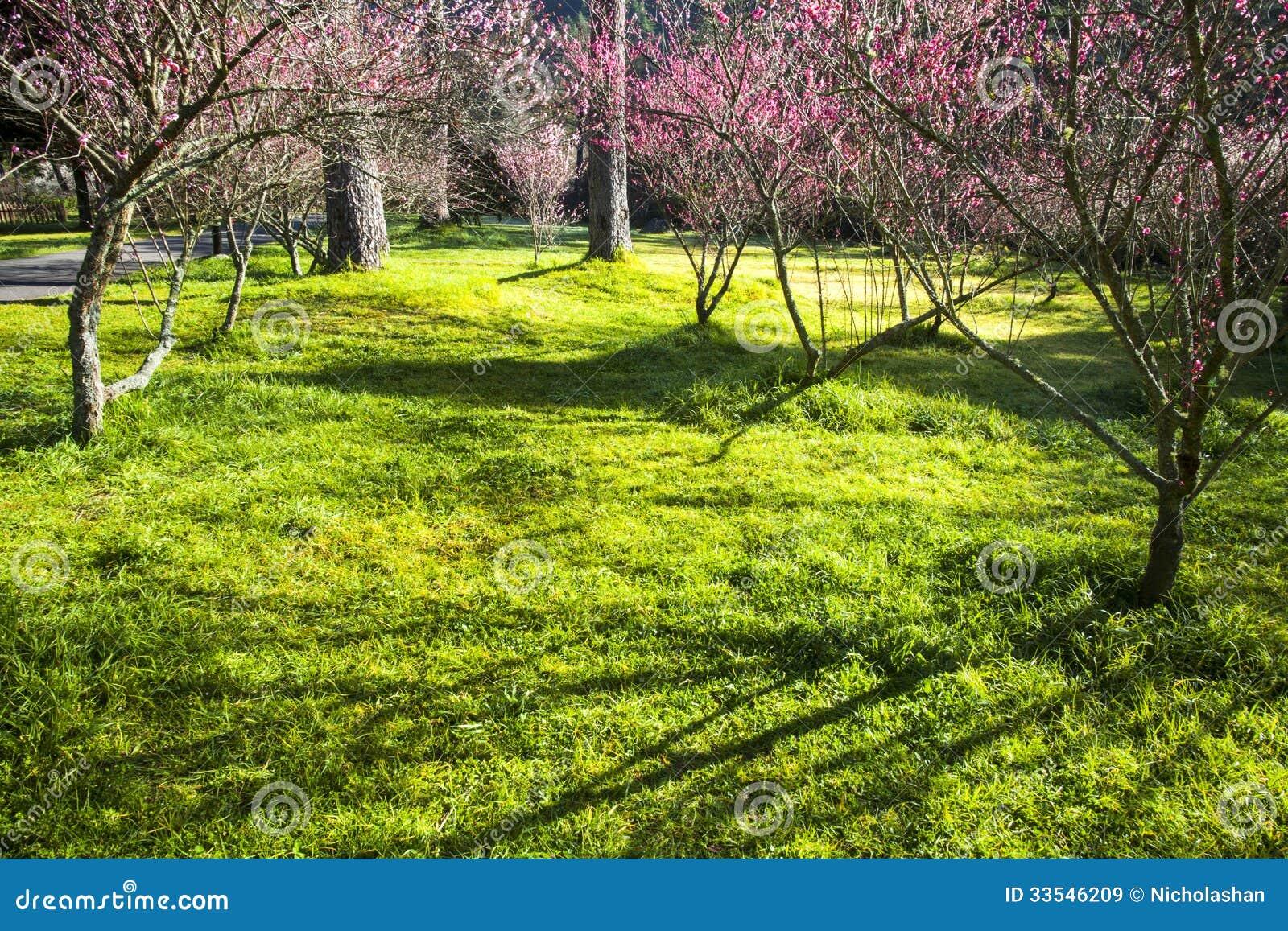 Beautiful Sakura Garden In Wuling Farm Taiwan Royalty Free