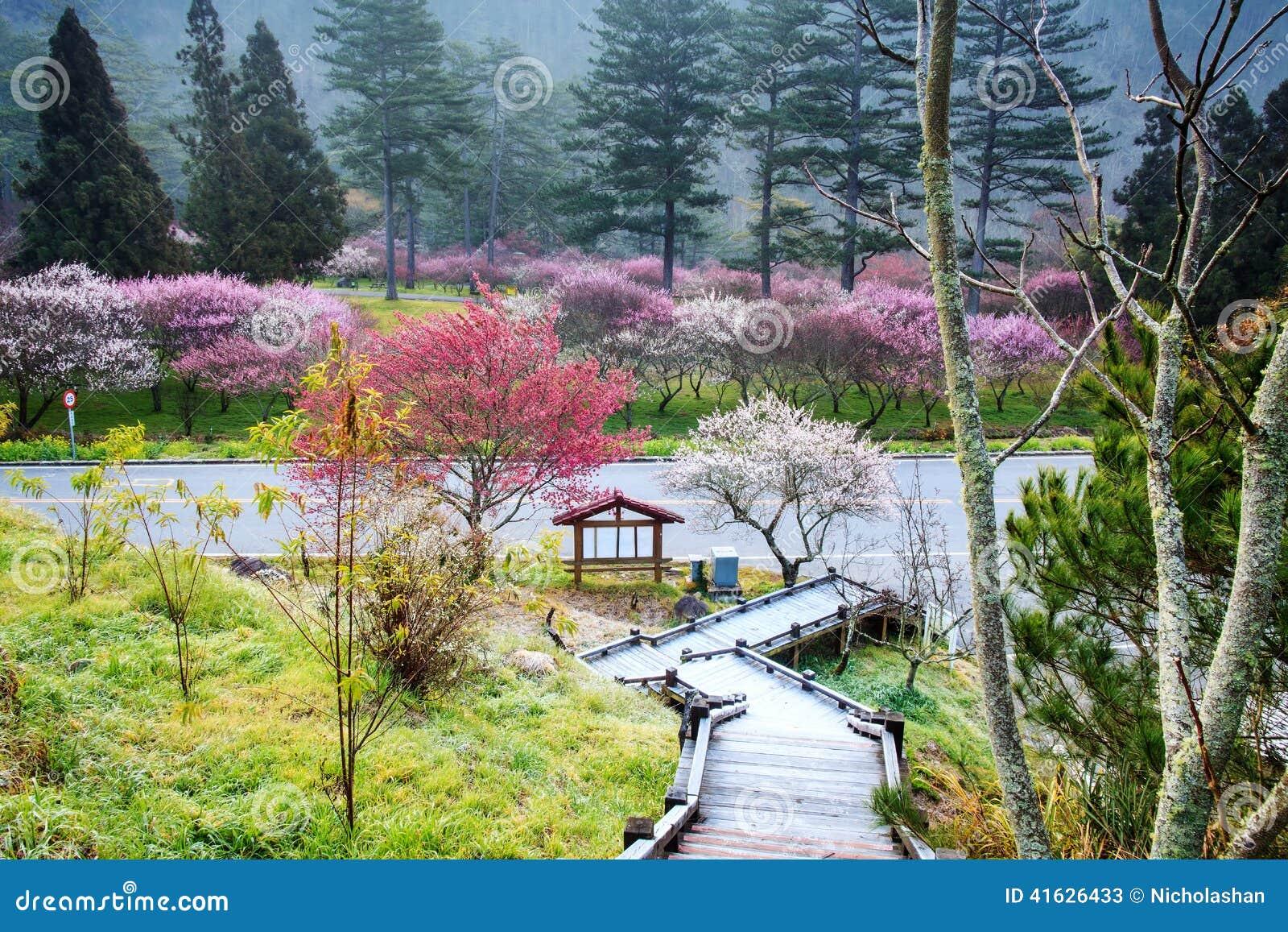 Beautiful Sakura Garden In Wuling Farm Taiwan Stock Image