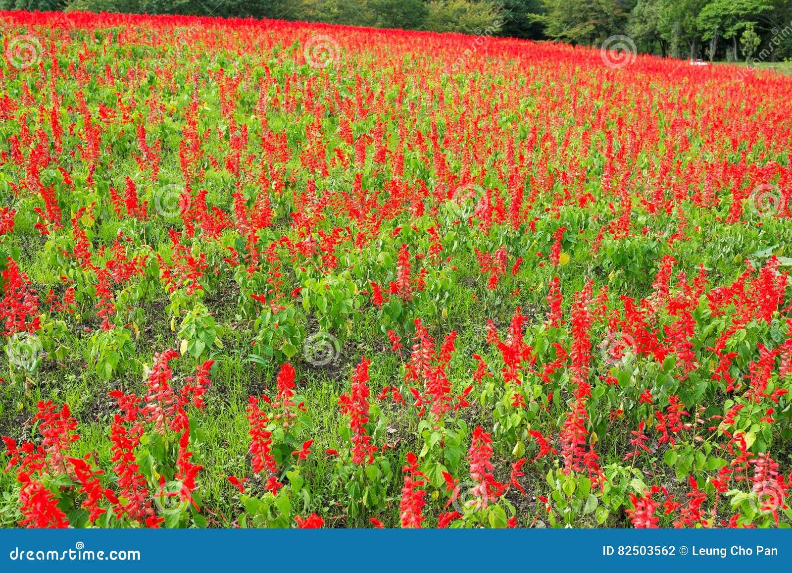 Beautiful Salvia field