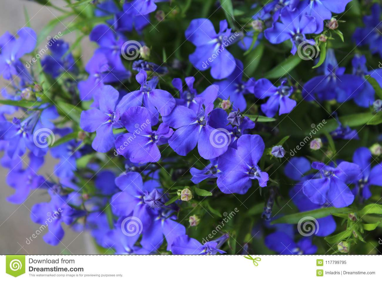 Blue Lobelia Bedding Plant Stock Image Image Of Container 117799795