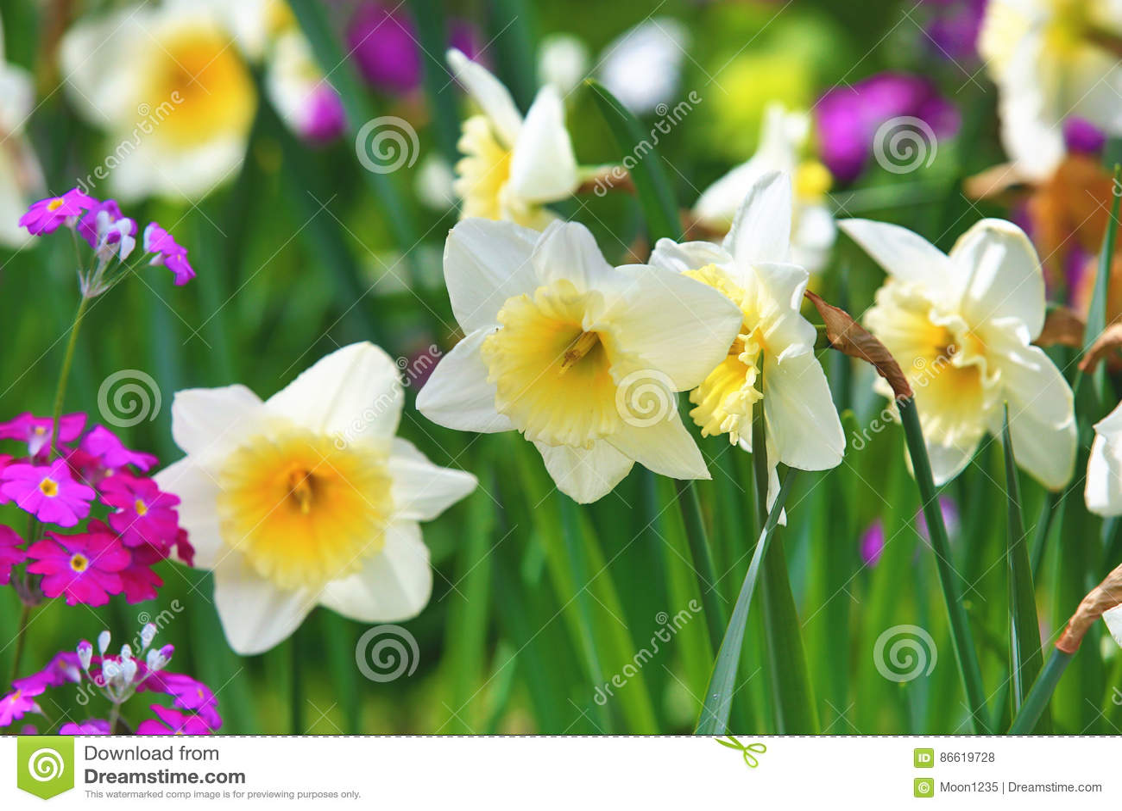 Beautiful scenery of daffodil flowers stock photo image of foliage beautiful scenery of daffodil flowers izmirmasajfo