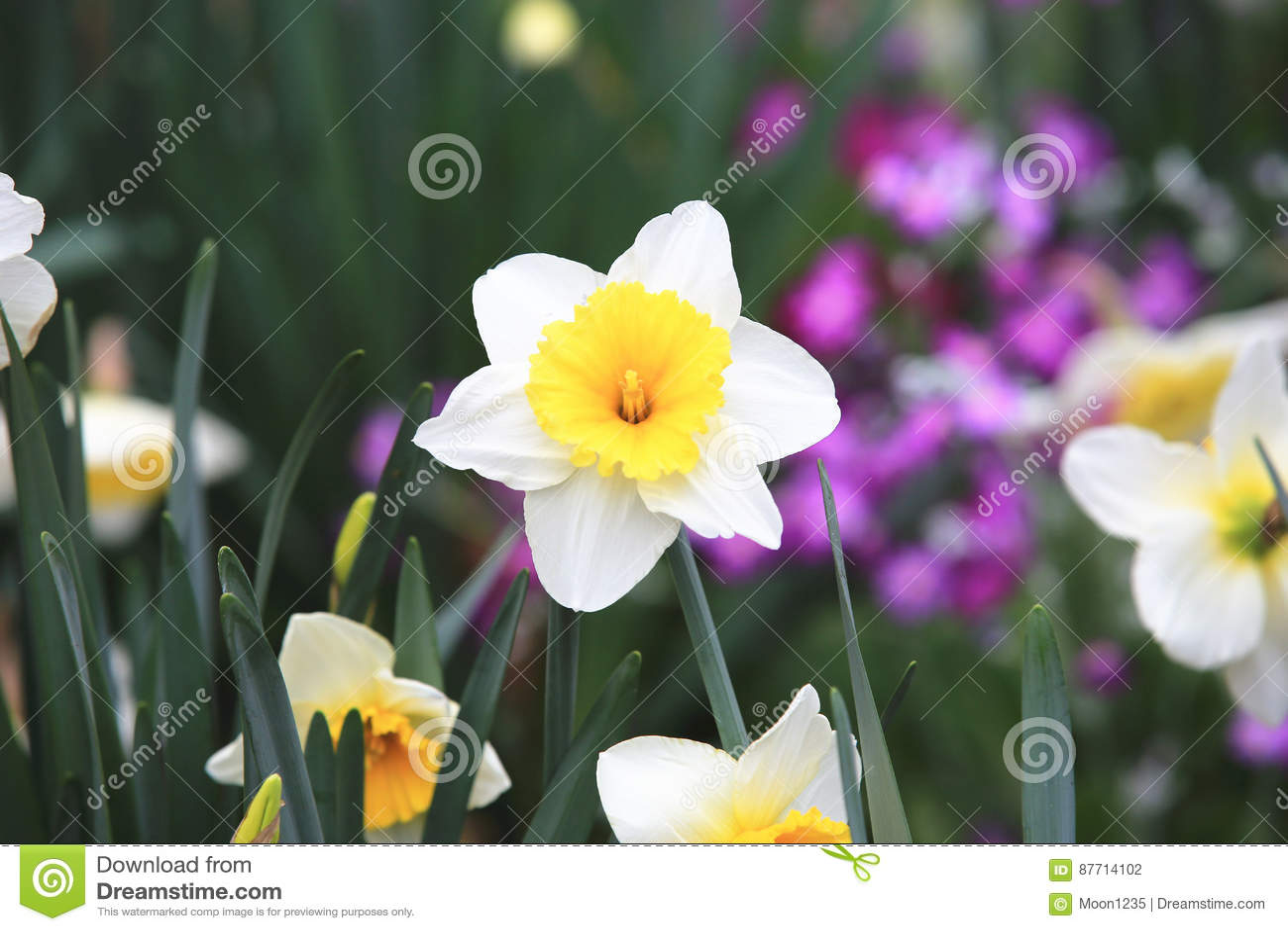 Beautiful Scenery Of Daffodil Flowers Stock Photo Image Of Closeup