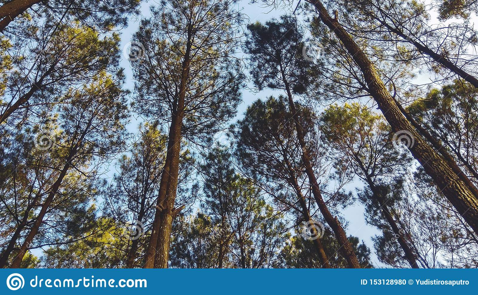 Beautiful Scenery In The Indonesian Pine Forest For