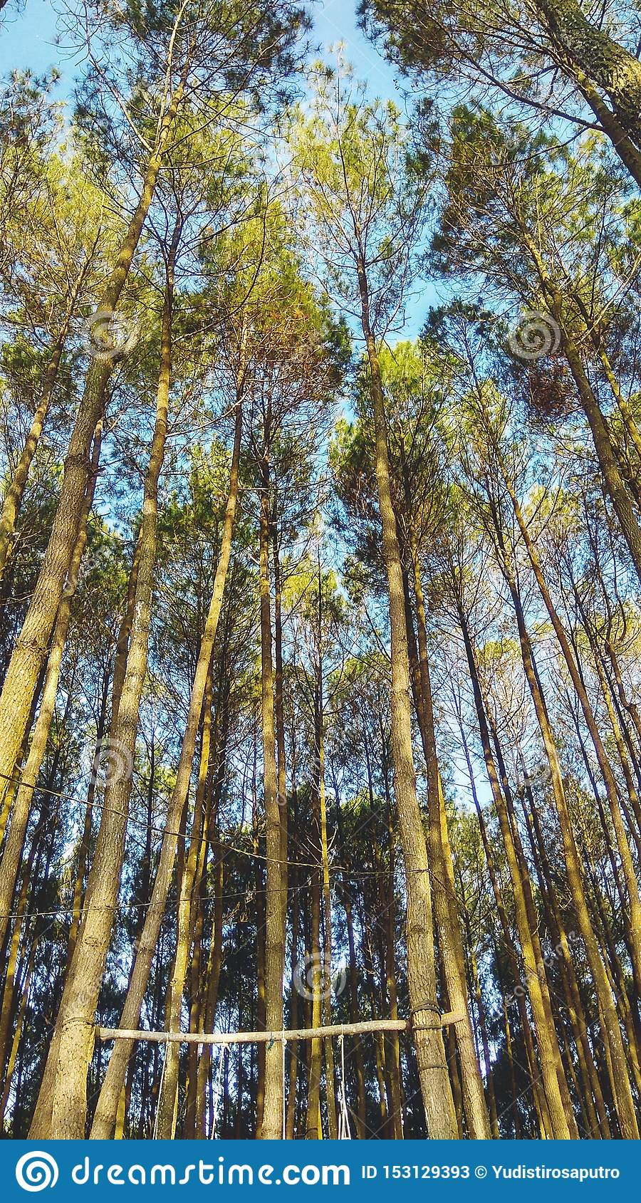 Beautiful Scenery In The Indonesian Pine Forest For Wallpaper Or Mobile Background Landscape Mode Stock Image Image Of Wallpaper Scenery 153129393