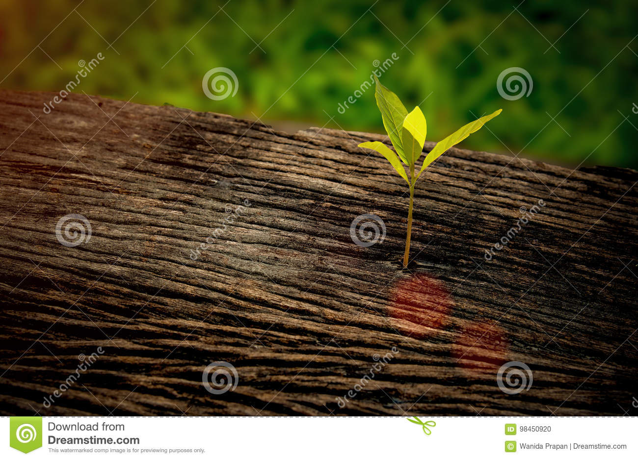 Beautiful seedling growing in the center trunk as a concept of new life in the sunrise morning,