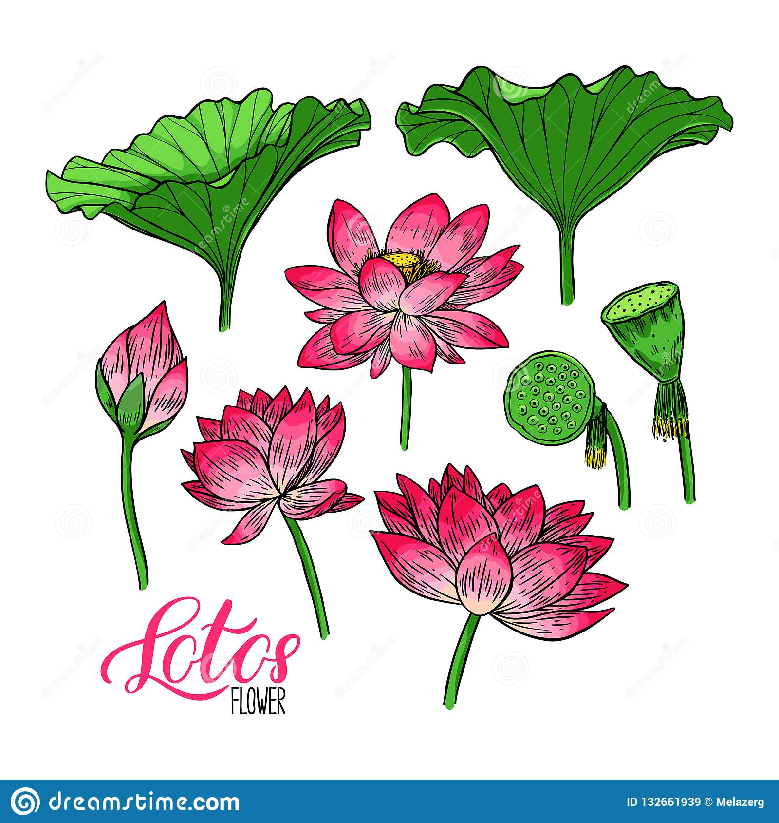 Set Of Lotus Flower And Leaves Stock Vector Illustration Of