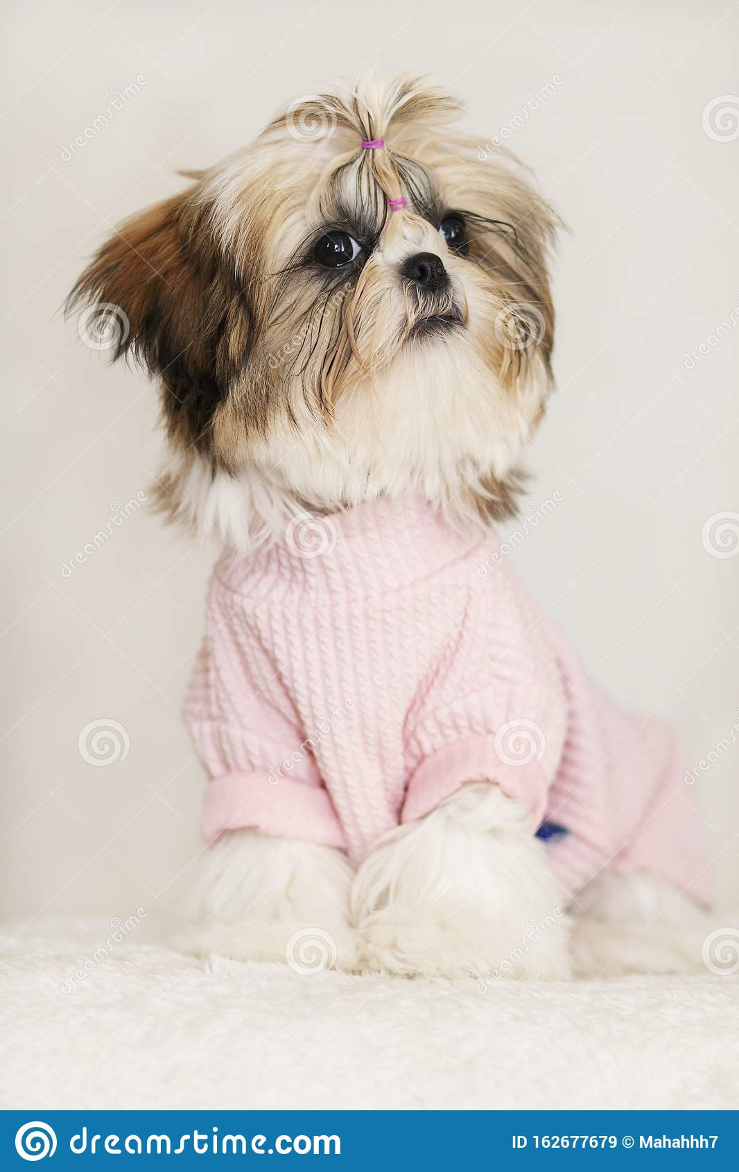 Beautiful Shih Tzu Puppy Cute Sitting Dressed In Pink And Beautiful Haircut Stock Image Image Of Dressed Shih 162677679