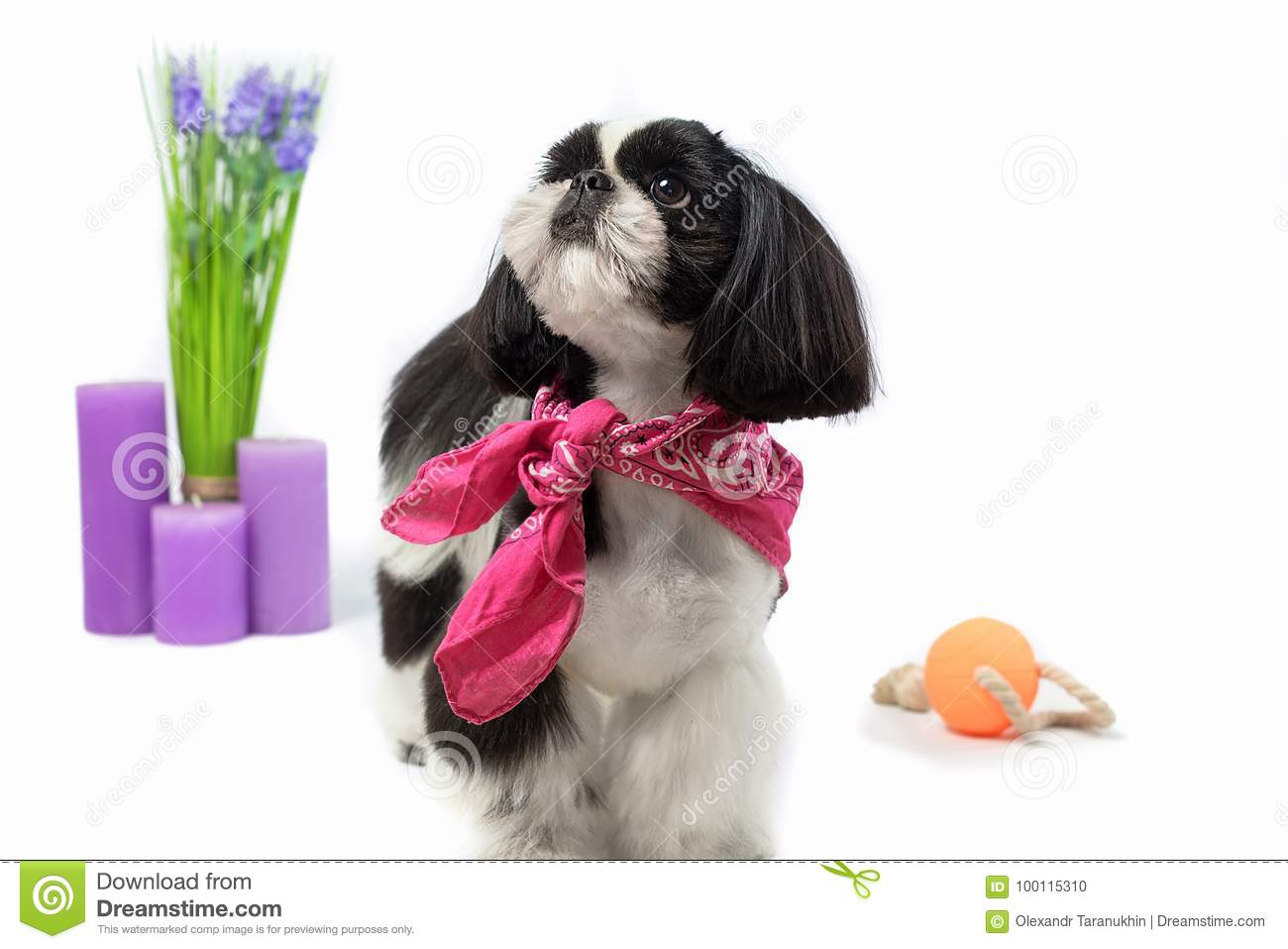 Beautiful Shih Tzu Puppy With Holiday Candle Stock Photo Image Of