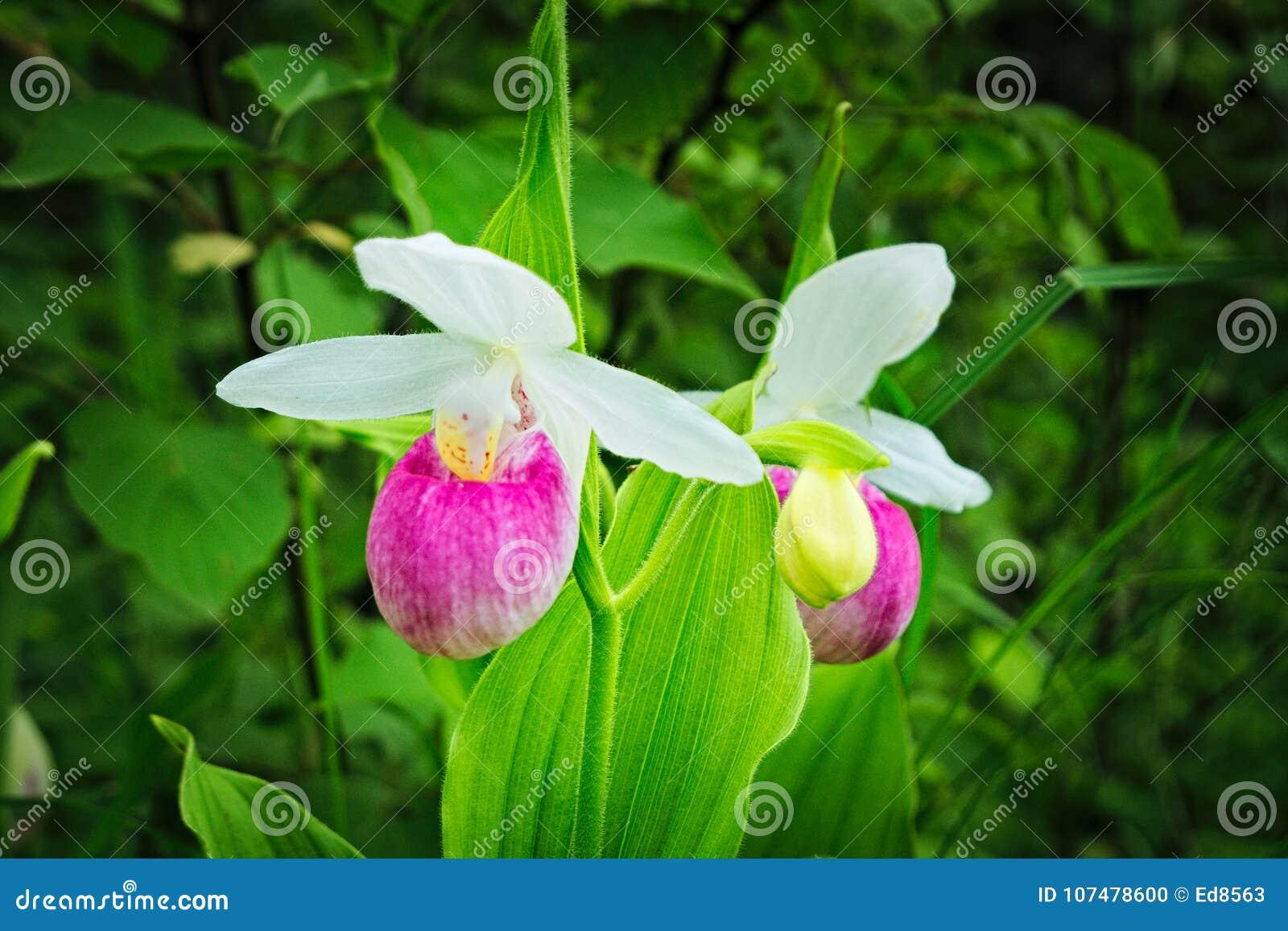 Showy Ladys Slipper Cypripedium Reginae Minnesota State Flower