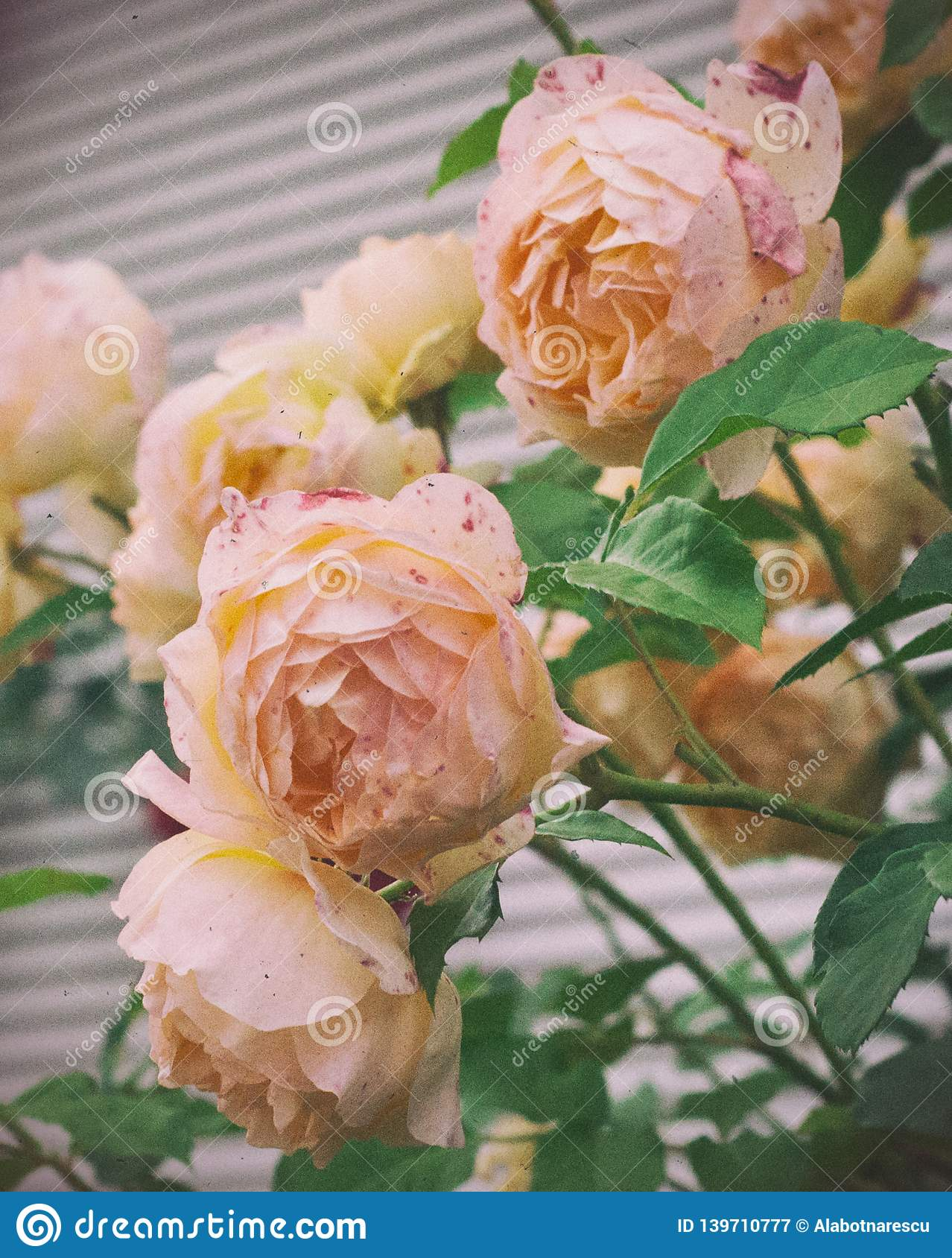 Beautiful shrub of Yellow, pink roses. Vintage photo of pink, yellow roses