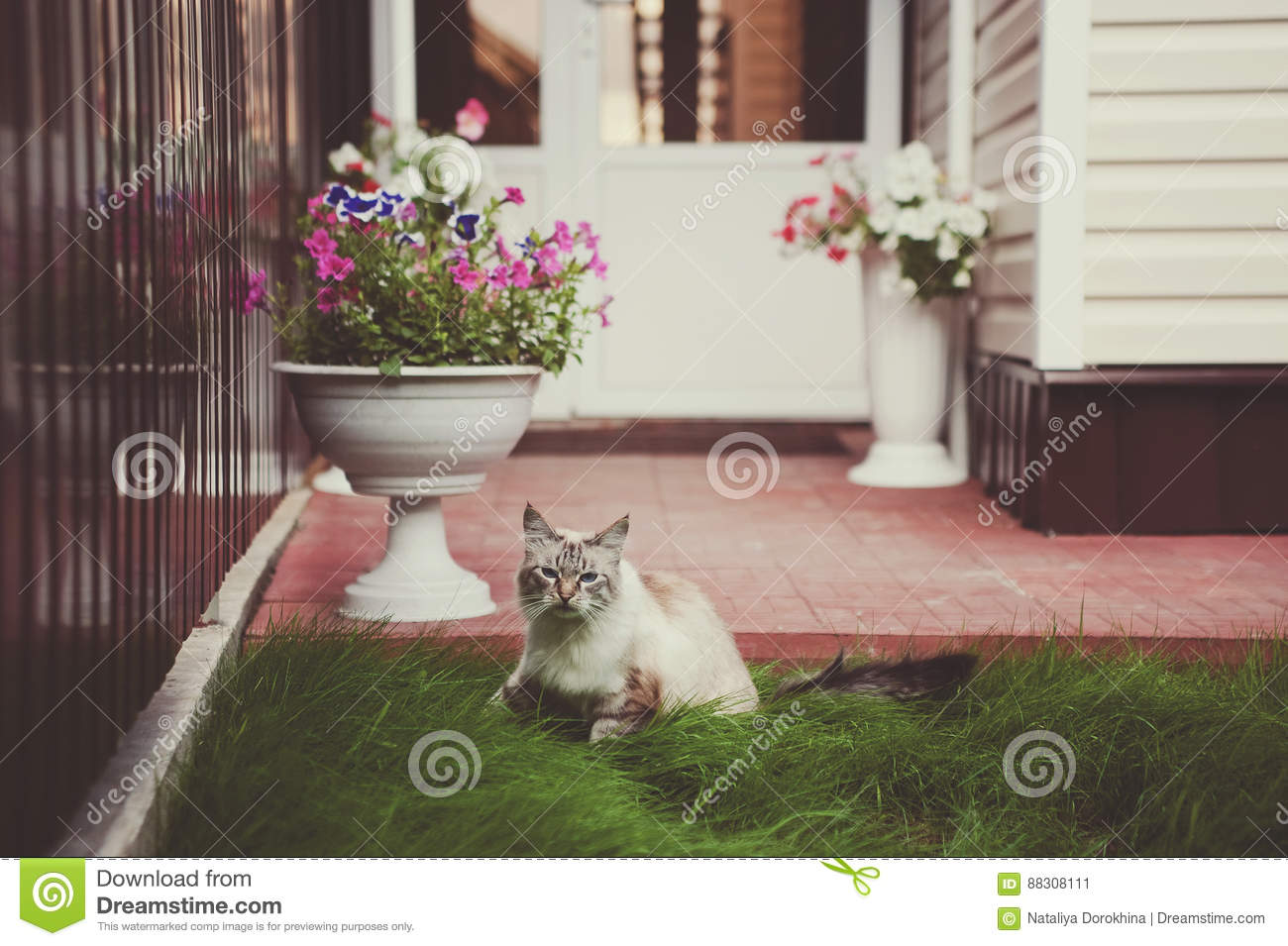 Beautiful Siamese with blue eyes cat with a funny face walking on the green grass