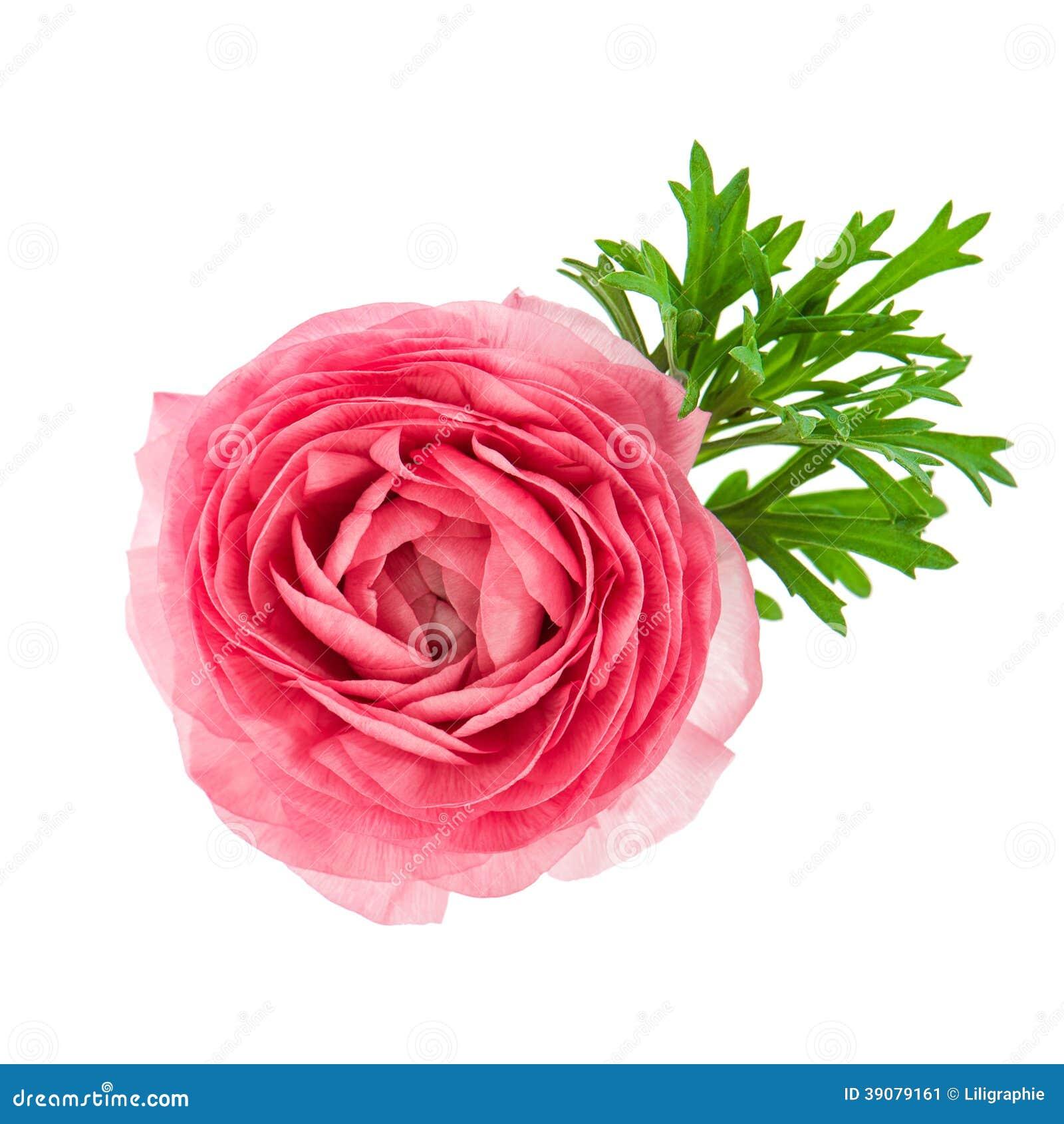 Beautiful single flower head of pink ranunculus stock image image download beautiful single flower head of pink ranunculus stock image image of detail decorative izmirmasajfo
