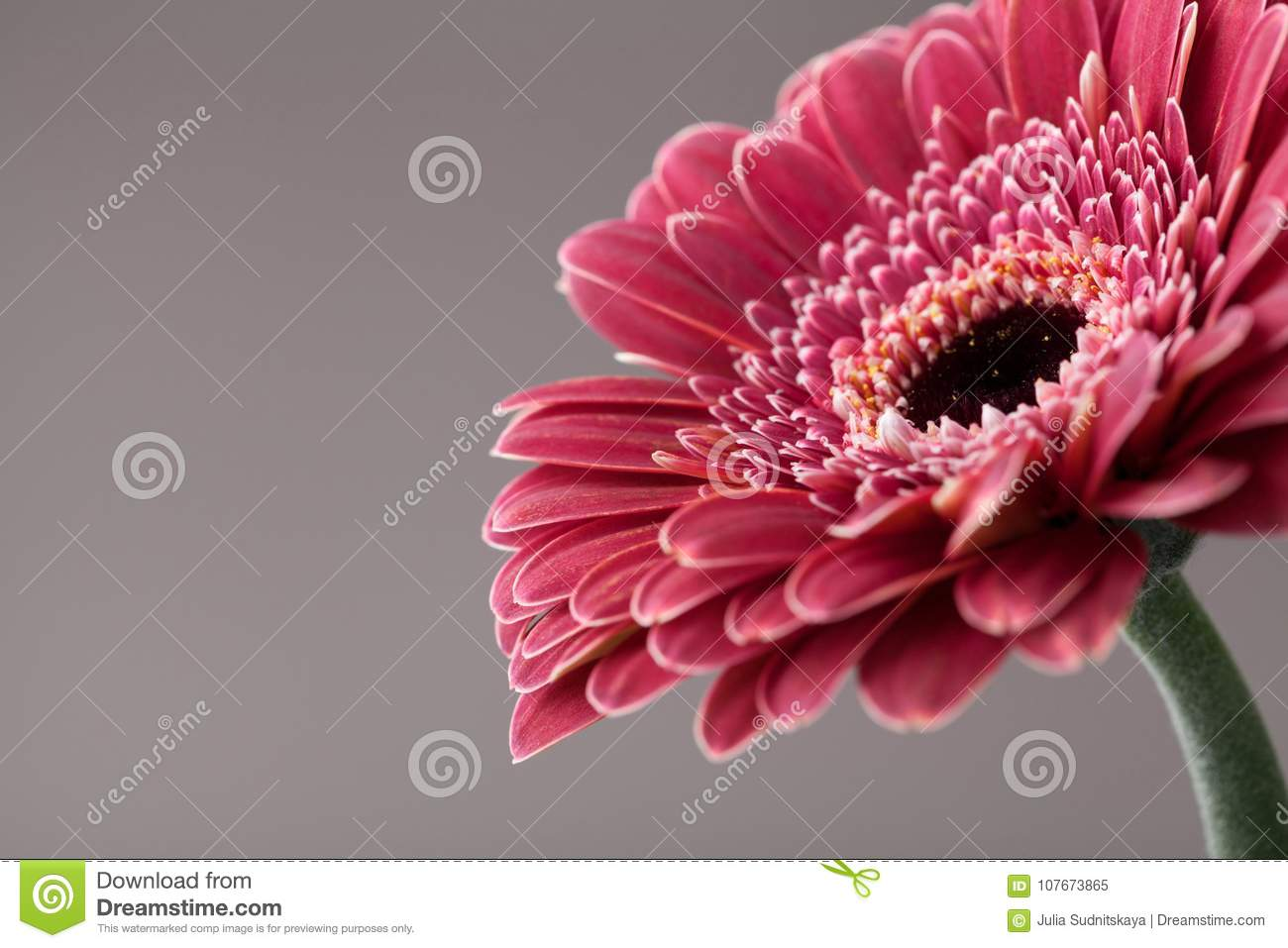 Beautiful Single Gerbera Daisy Flower Closeup Greeting Card For