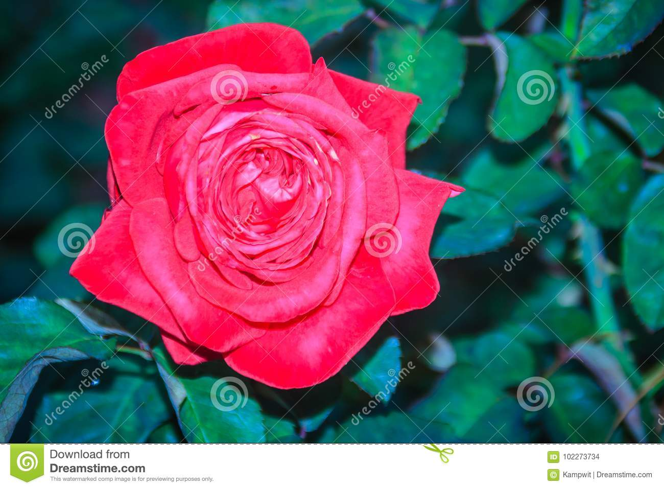 Beautiful Single Red Rose Flower On Green Branch In The