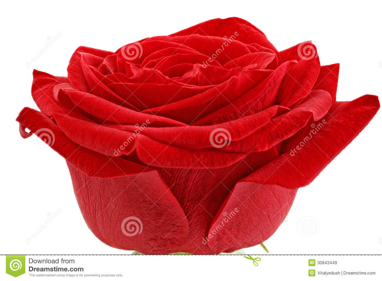 Single Red Rose Flower Stock Images: Single Red Rose Flower Stock Photography