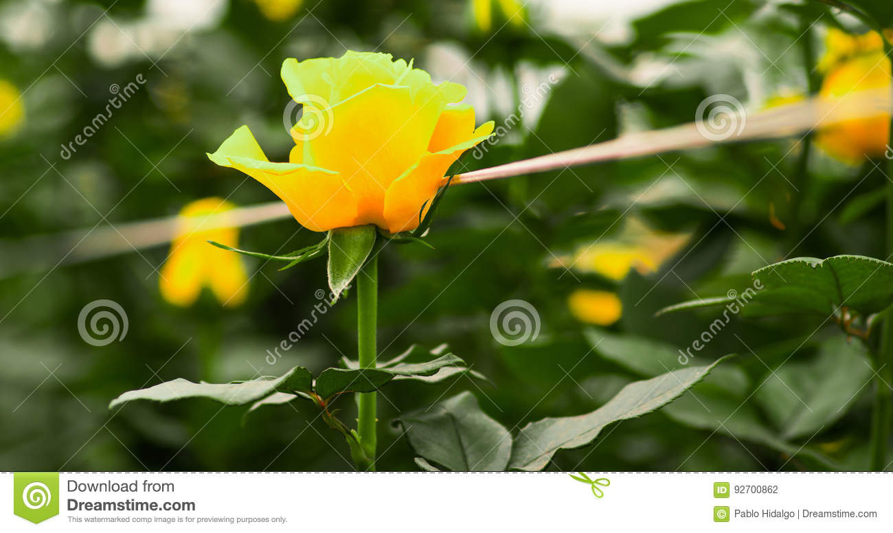 Beautiful Single Yellow Rose Flower In Garden Greenhouse Stock Photo