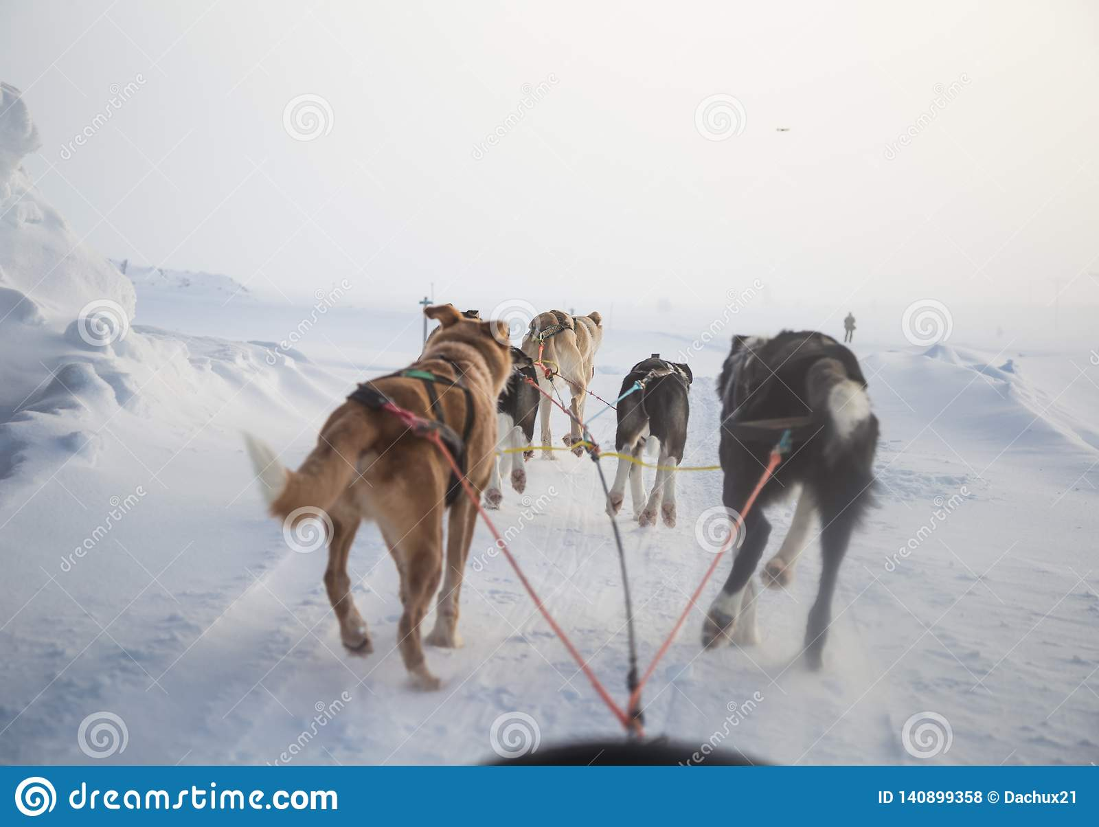 A beautiful six dog teem pulling a sled. Picture taken from sitting in the sled perspective. FUn, healthy winter sport in north.