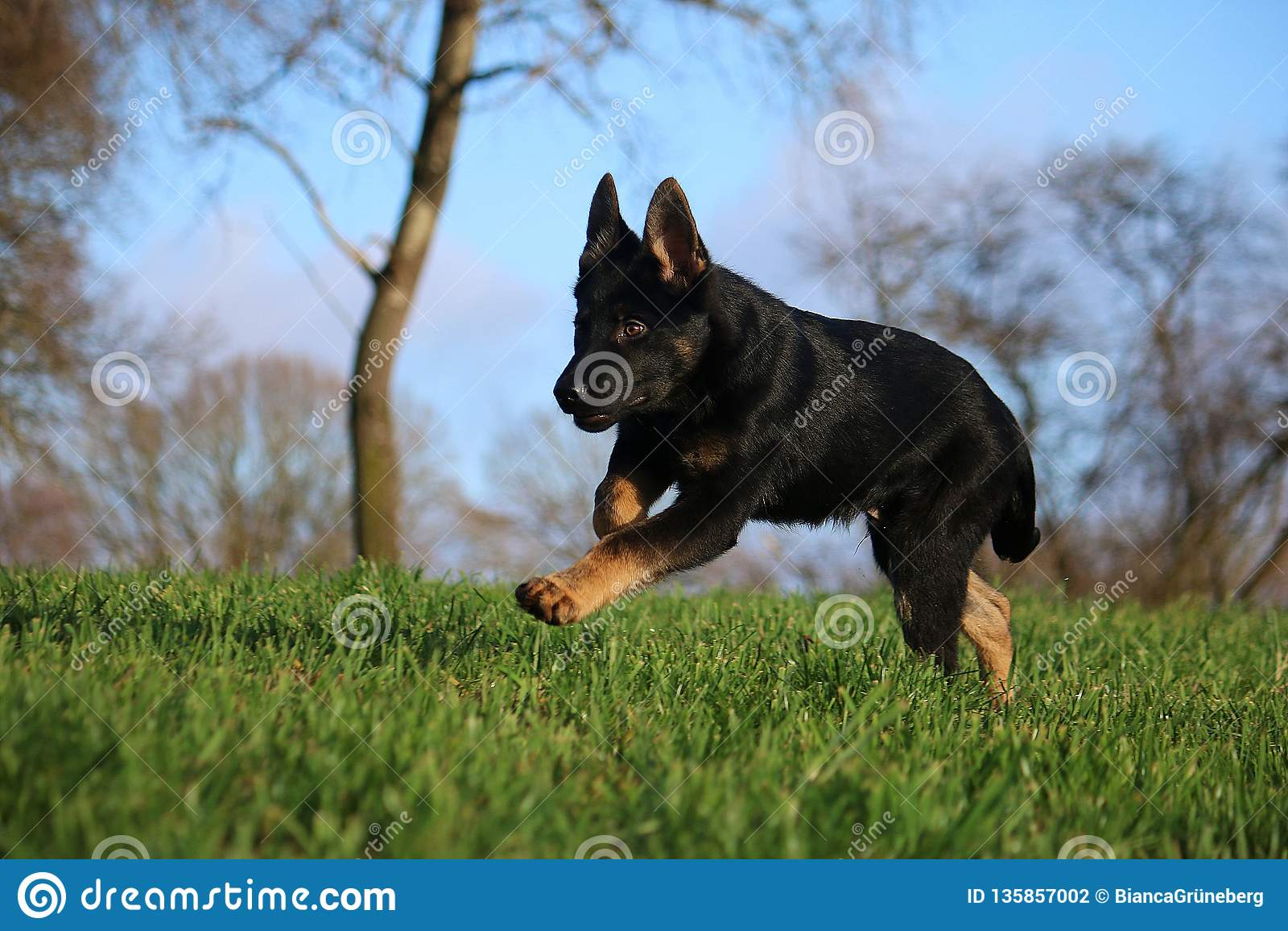 Running German Shepherd Puppy Stock Photo Image Of Canine Happiness 135857002