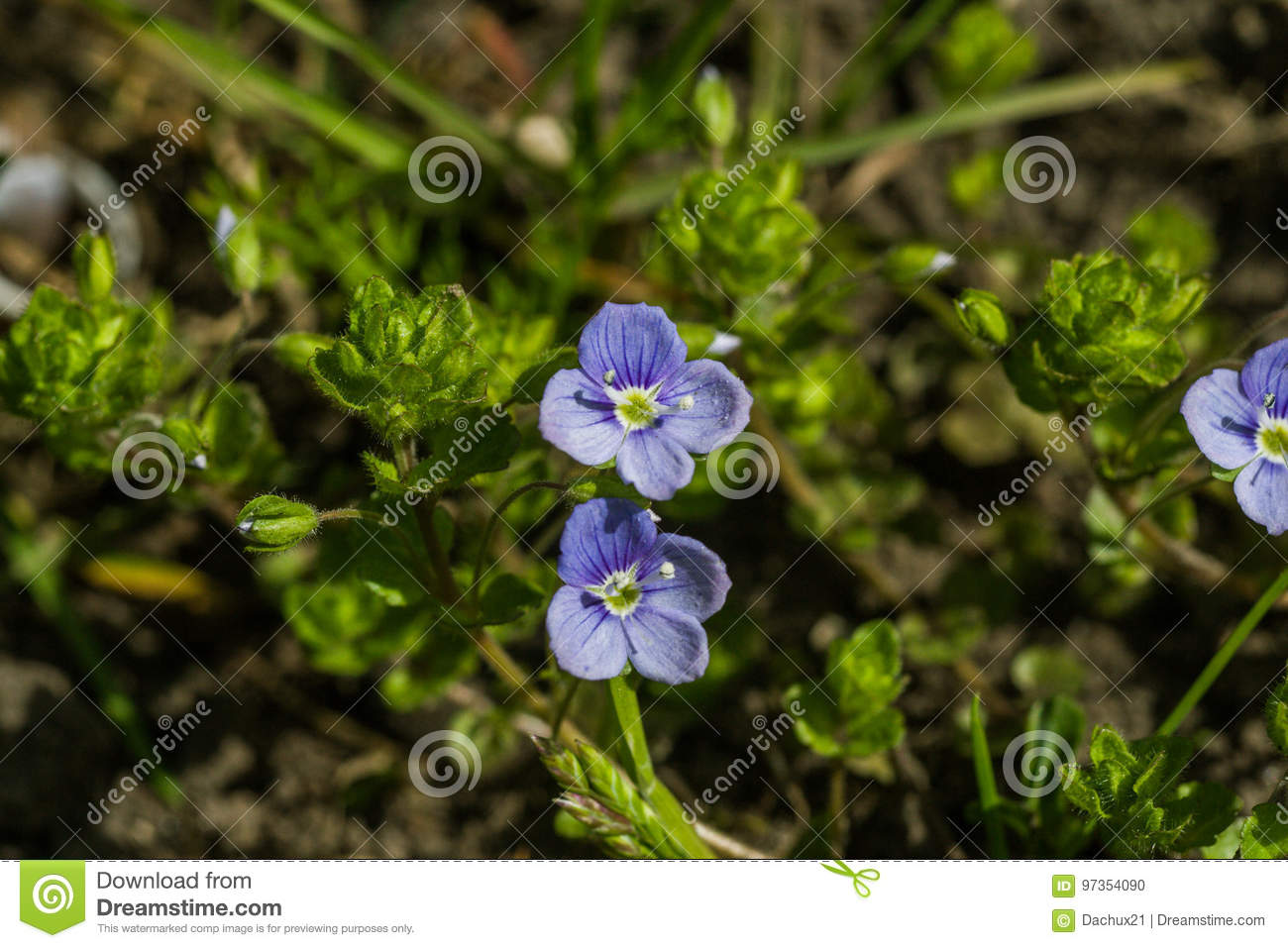 Beautiful Small Blue Flowers In The Grass Stock Photo Image Of