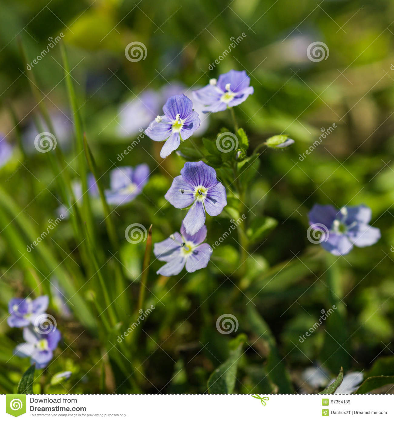Beautiful Small Blue Flowers In The Grass Stock Image Image Of