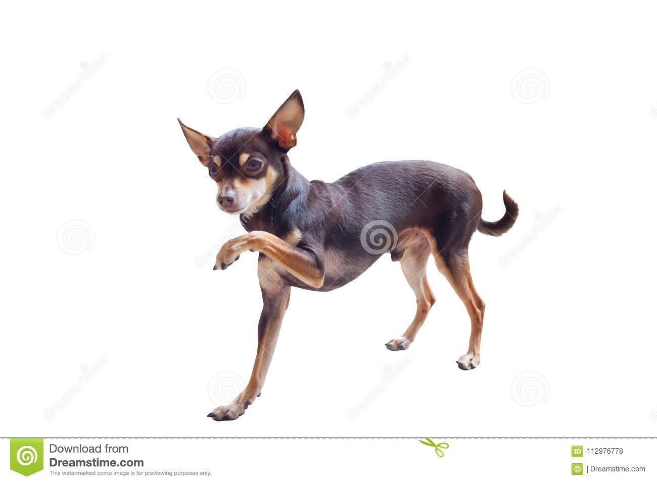 Decorative Russian Toy Terrier
