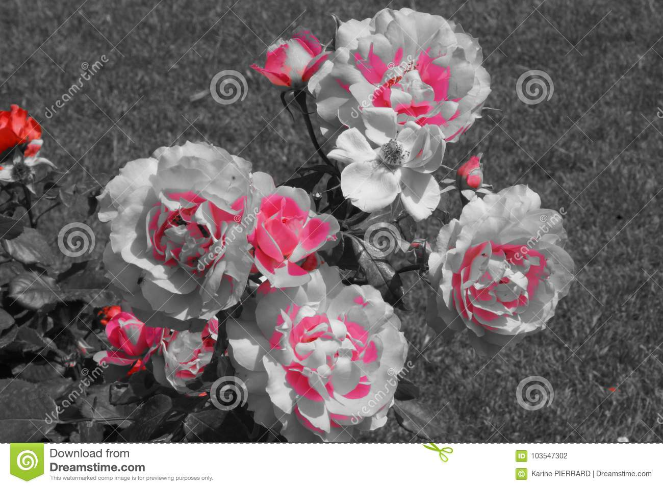 The nature is magnificent small shrub with of beautiful pink flowers black and white photo