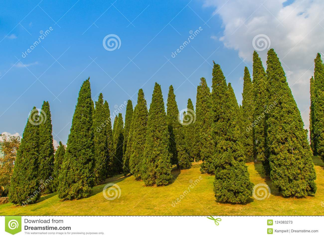 Beautiful small hill landscape with tall pine trees on green grass field and blue sky white cloud background. Juniperus chinensis