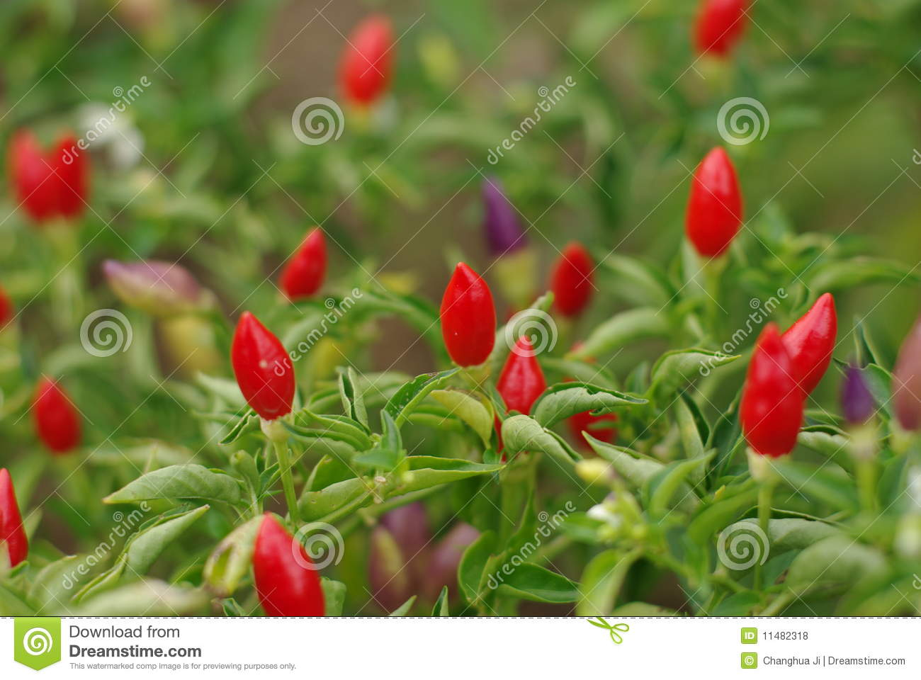Beautiful Small Hot Peppers Royalty Free Stock Photos - Image 11482318-1497