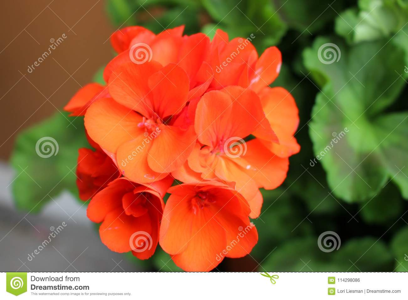 Lovely Small Orange Flowers Growing In A Cluster Stock Photo Image